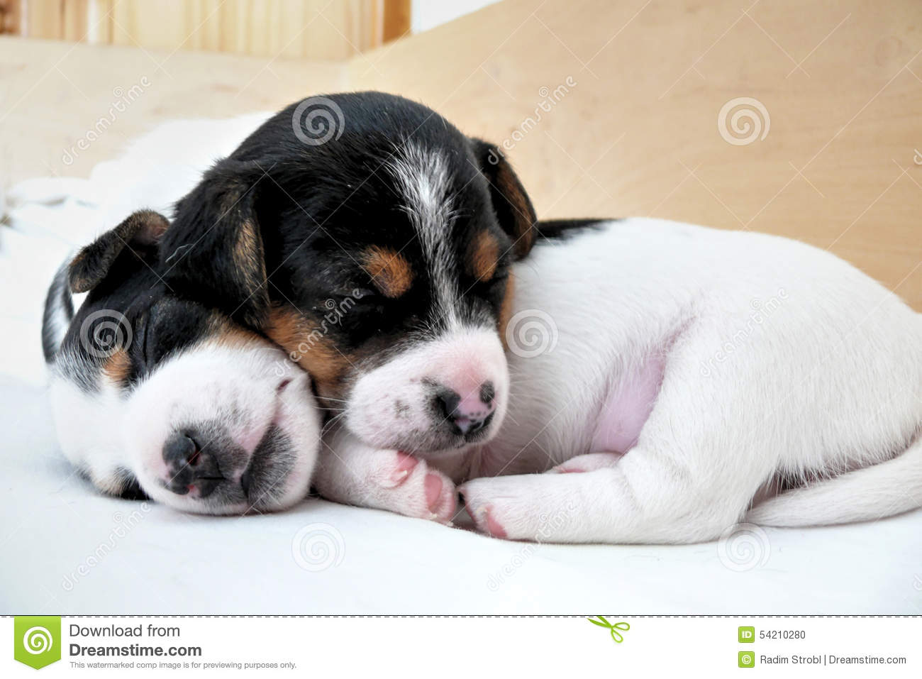Petit Jack Russell Terrier Puppies