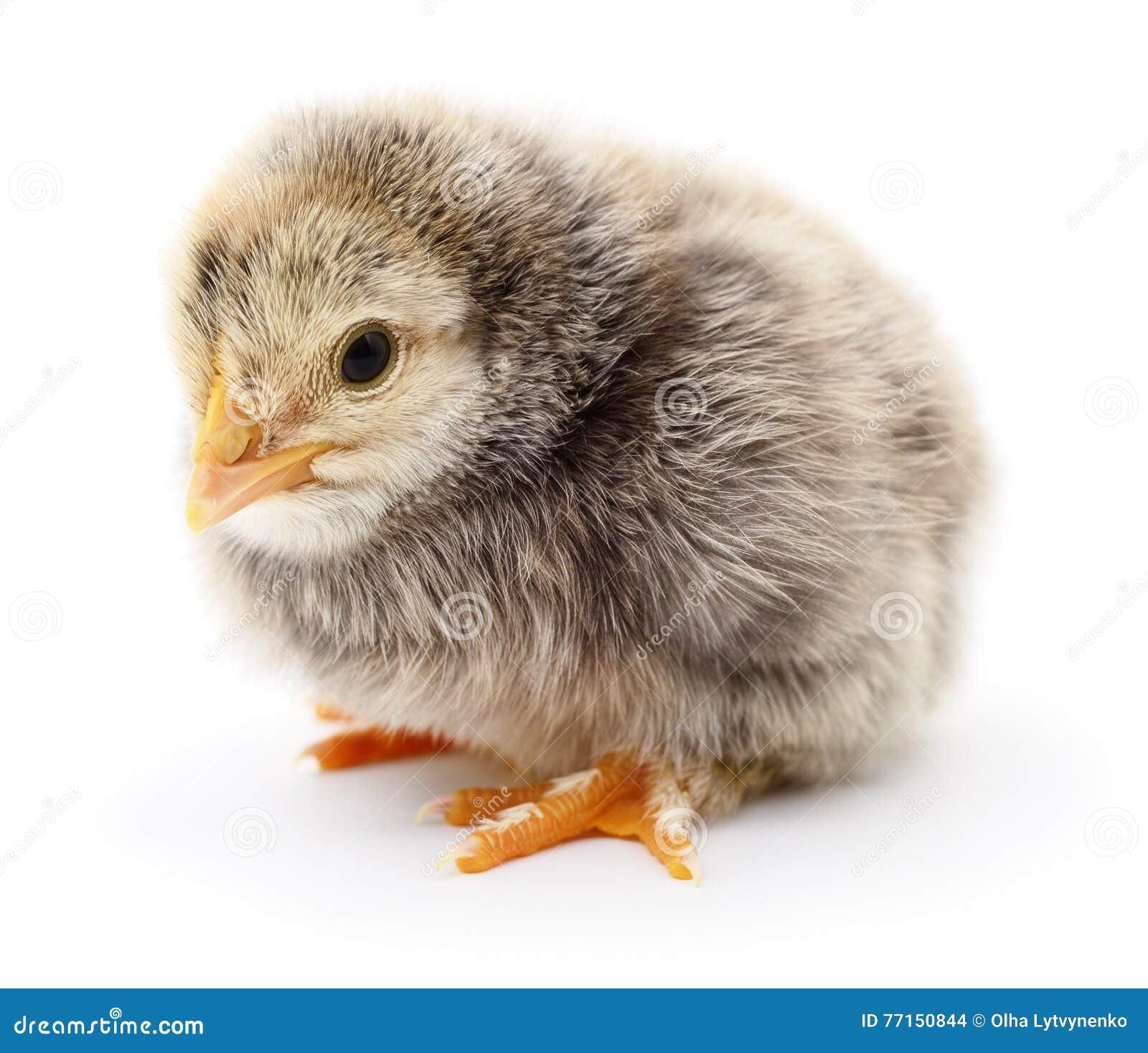Petit jaune de poulet