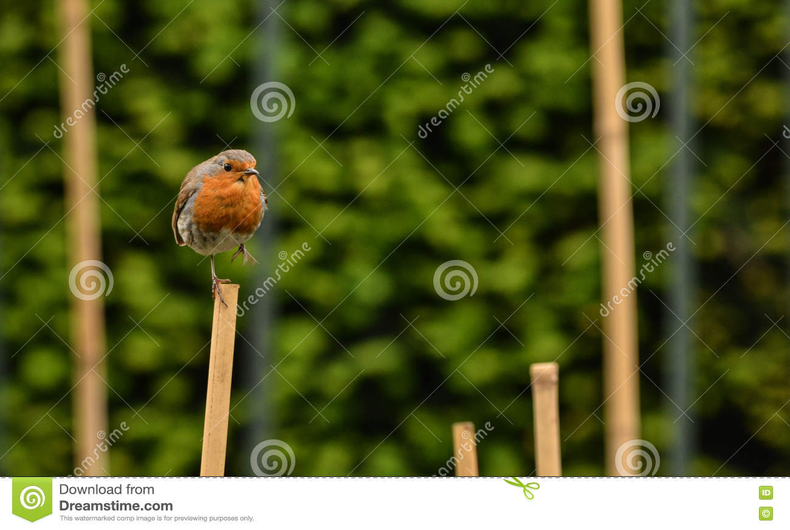 Petit merle d oiseau