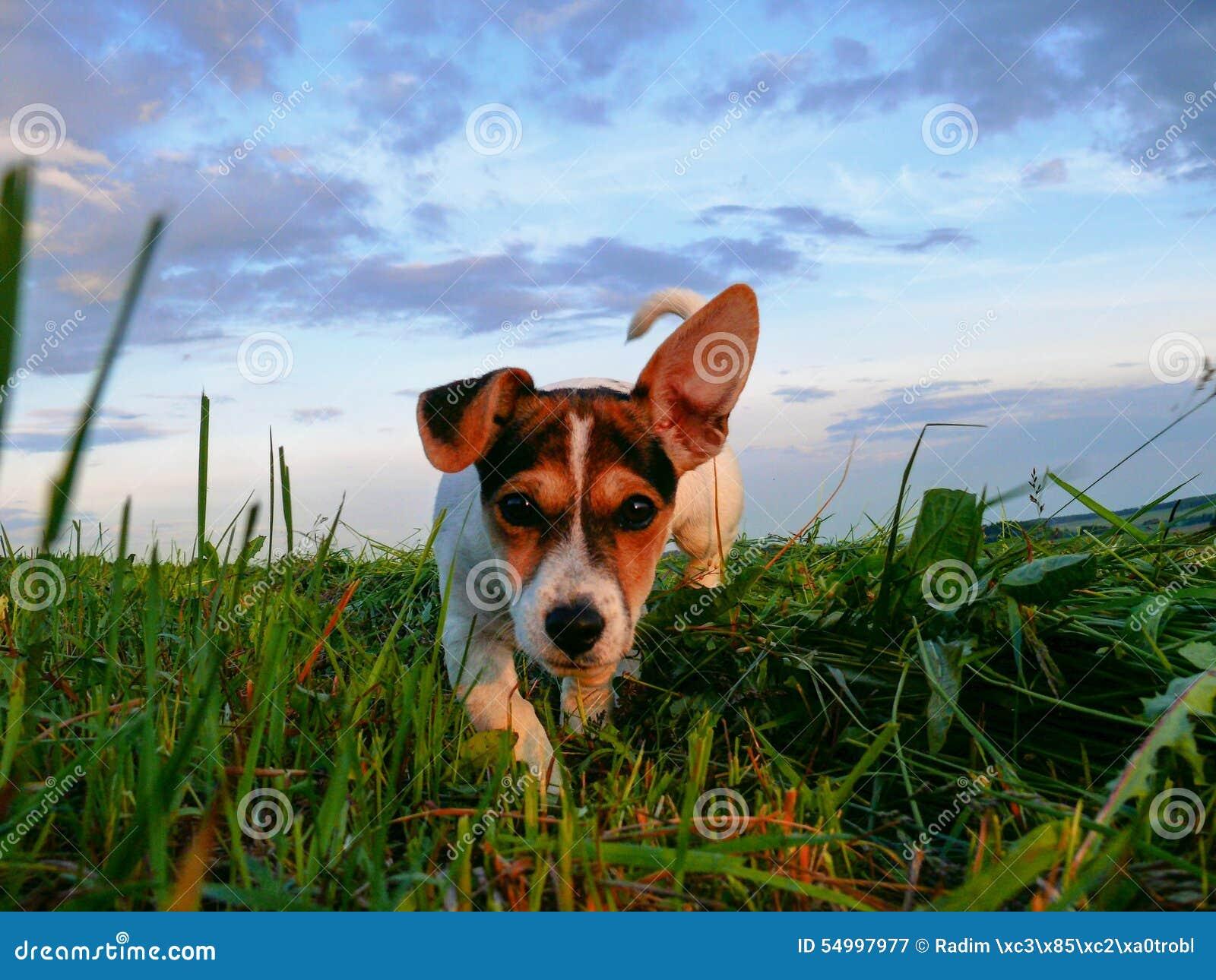 Petit monde l explorant de Jack Russell Terrier