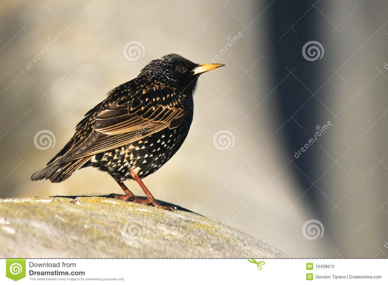 petit oiseau commun de starling photo stock image 10438612