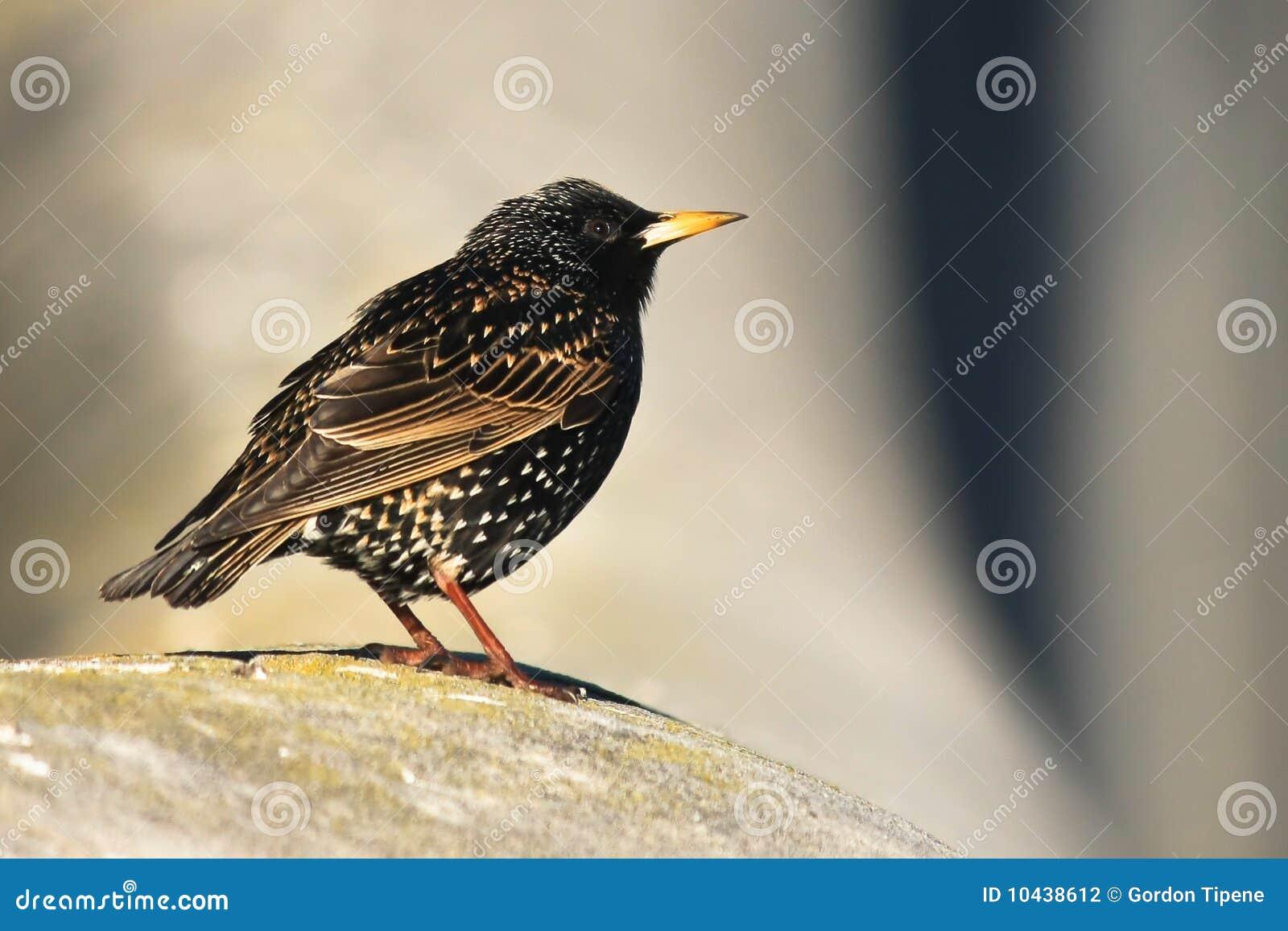 Petit oiseau commun de starling photo stock image 10438612 for Oiseau commun