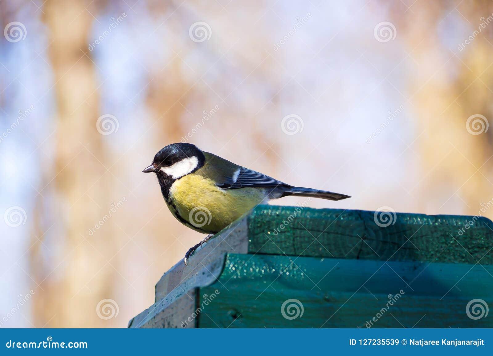 Petit oiseau jaune sur la barrière en parc Oiseau de mésange en Russie Wildlif