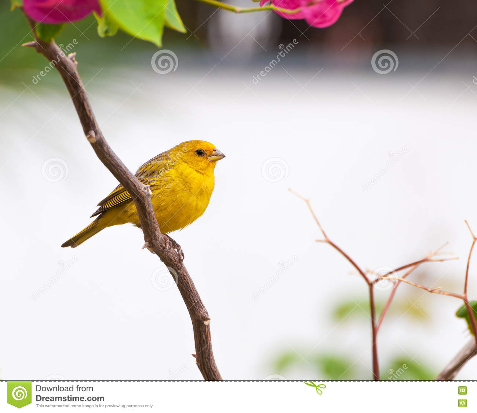 petit oiseau jaune sur la branche d'arbre avec des épines et des