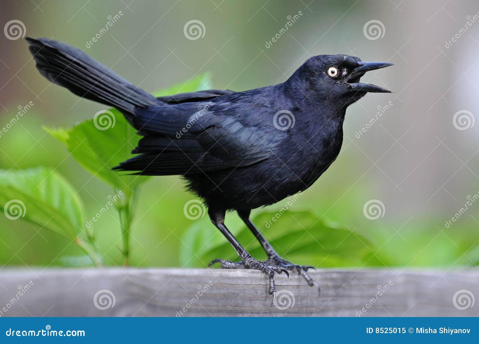 petit oiseau noir photo libre de droits image 8525015