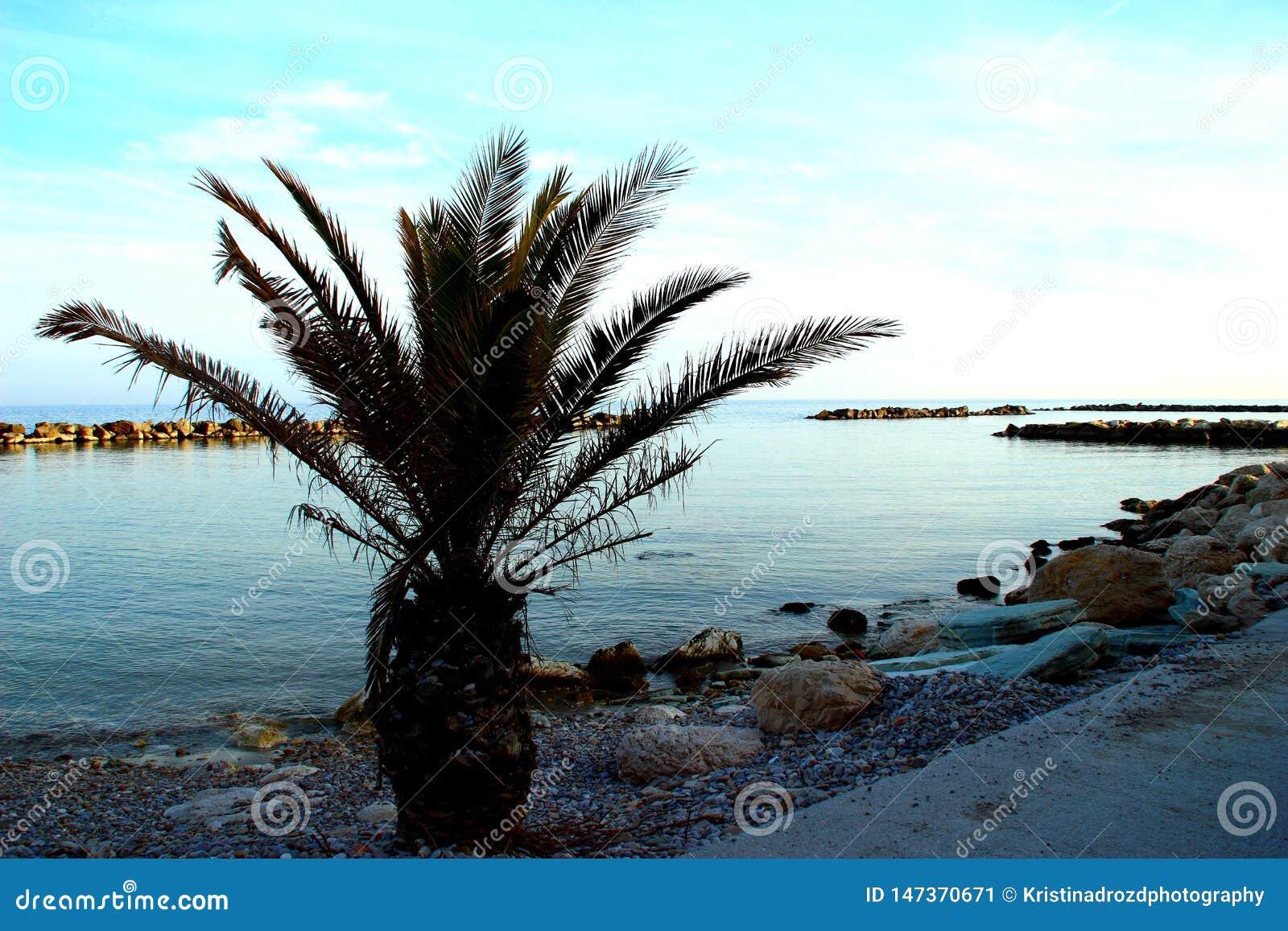 Petit palmier sur une plage rocheuse près de la Mer Adriatique