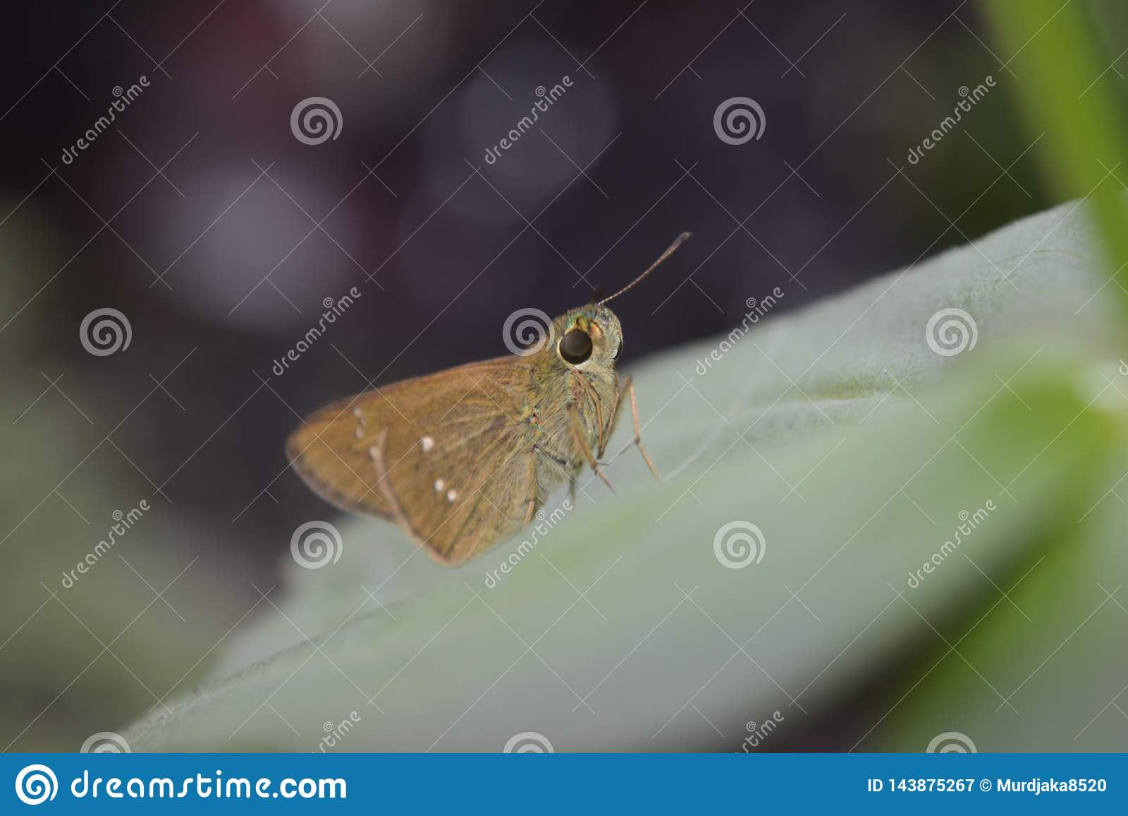 Petit papillon brun