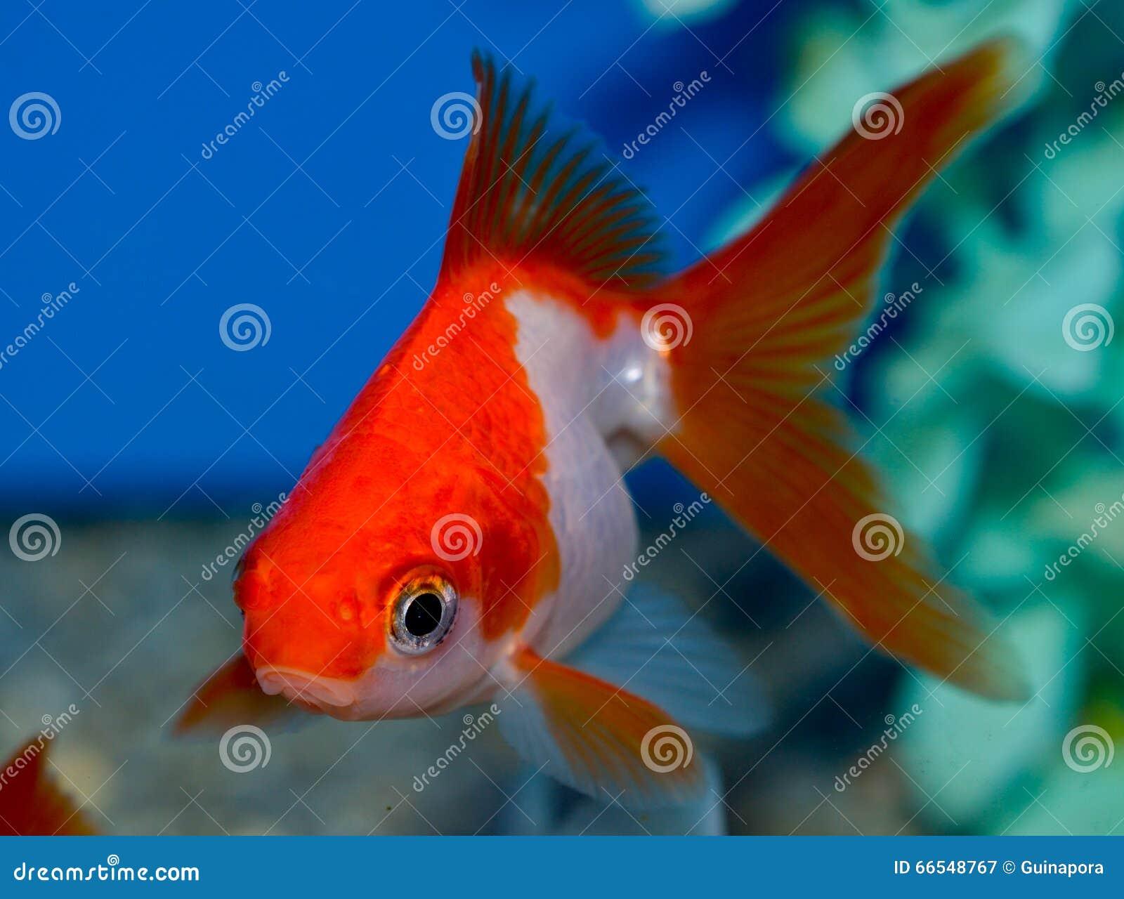 Petit poisson rouge rouge et blanc de ryukin image stock for Prix poisson rouge 15 cm