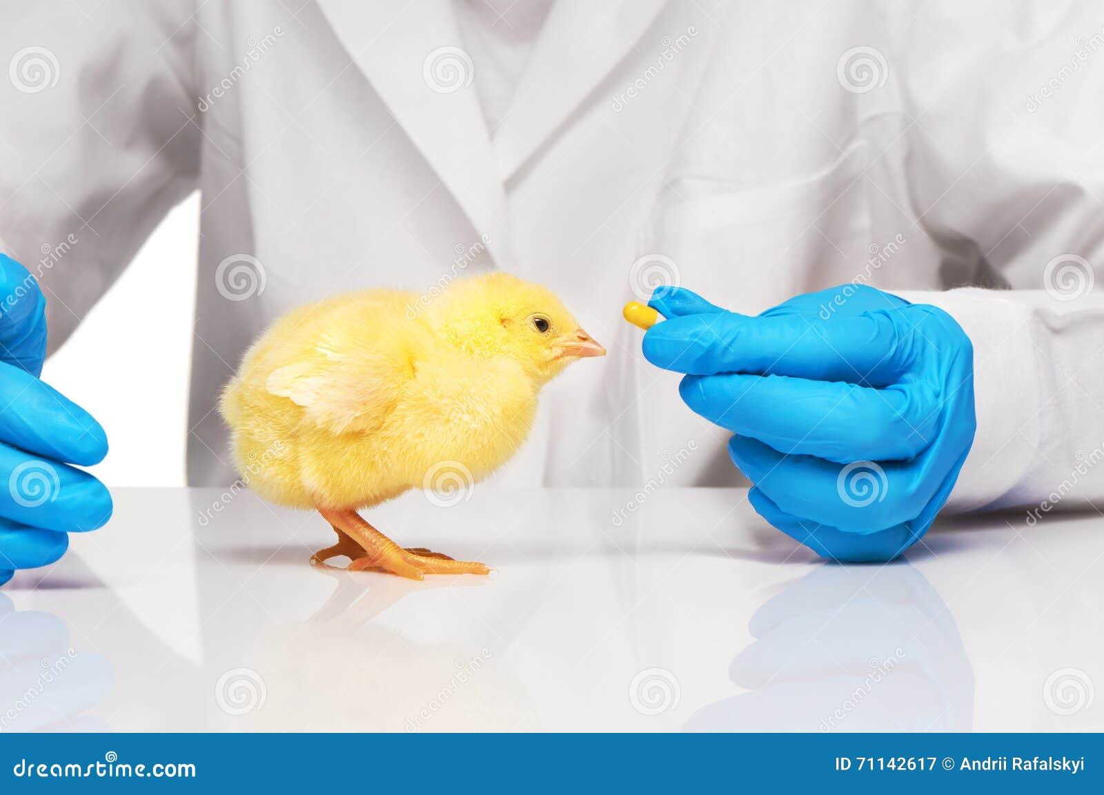 Petit poulet jaune obtenant la pilule de la main de vétérinaires