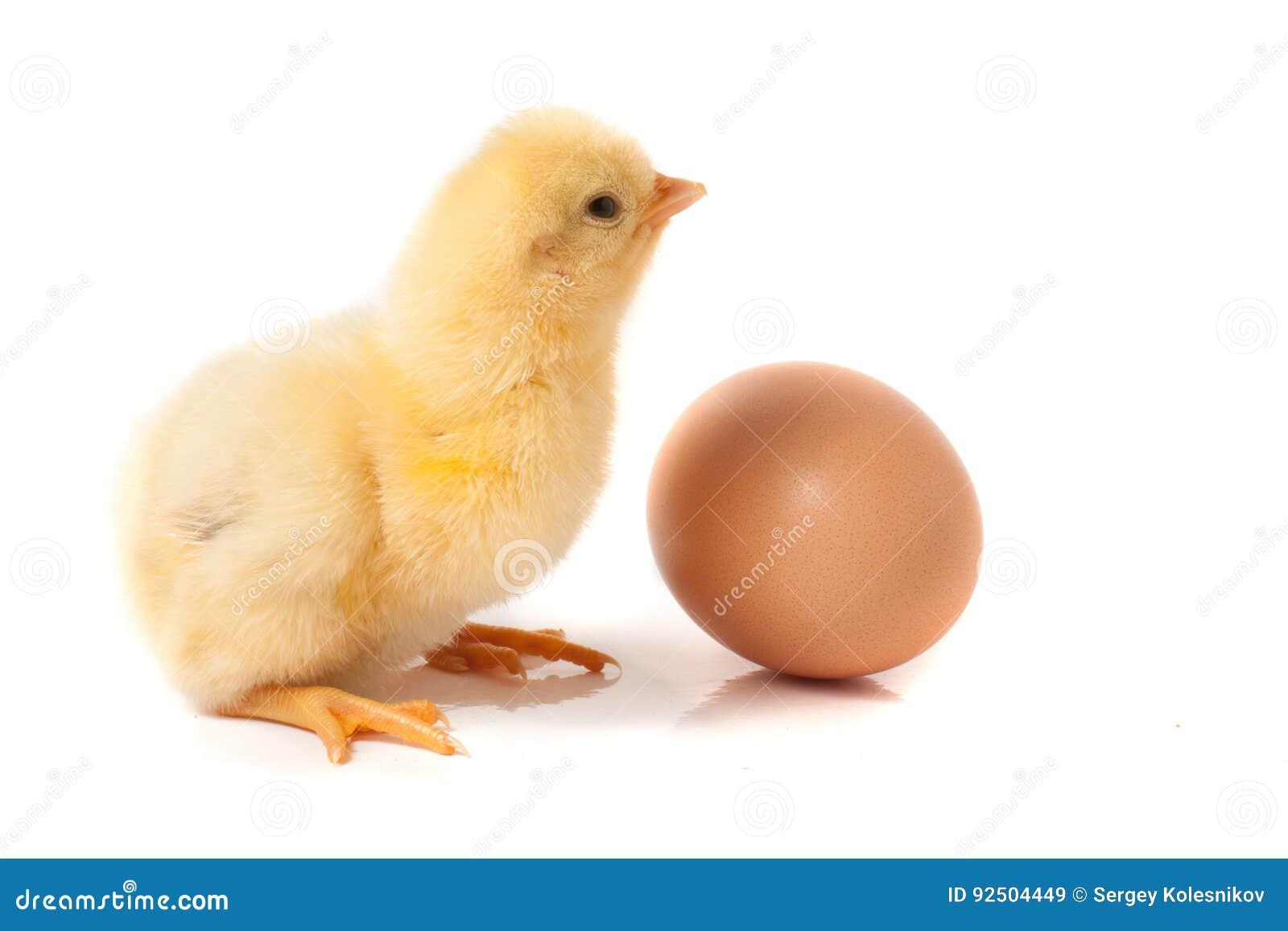 Petit poulet mignon avec l oeuf d isolement sur le fond blanc