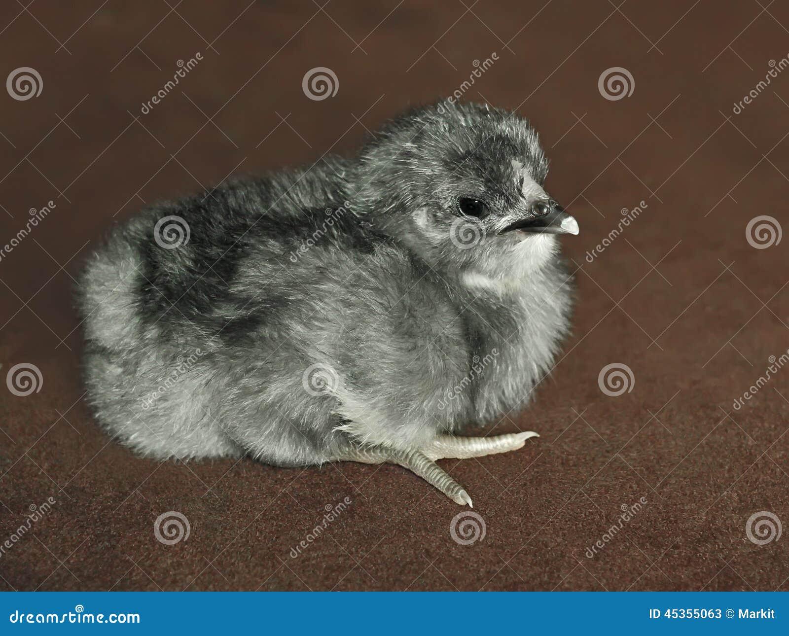Petit poulet pelucheux gris