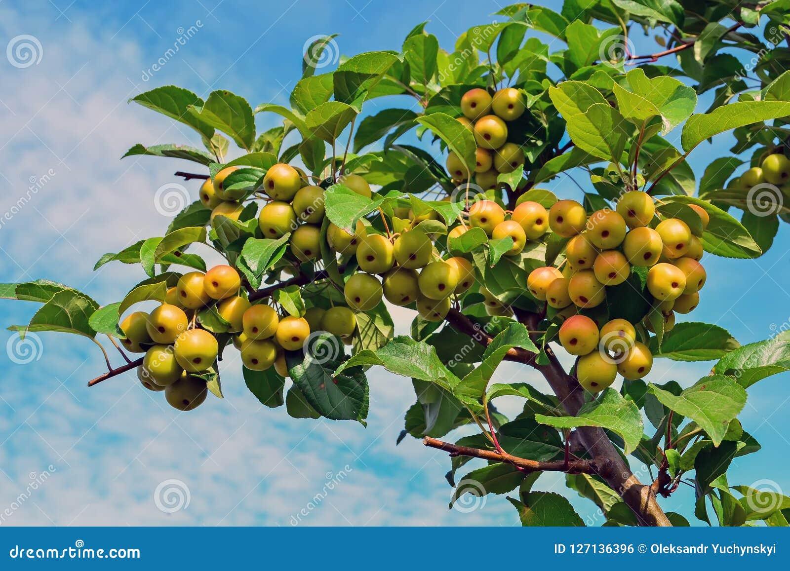 Petit, propre, pollinisateur de pomme de pommes sur des branches