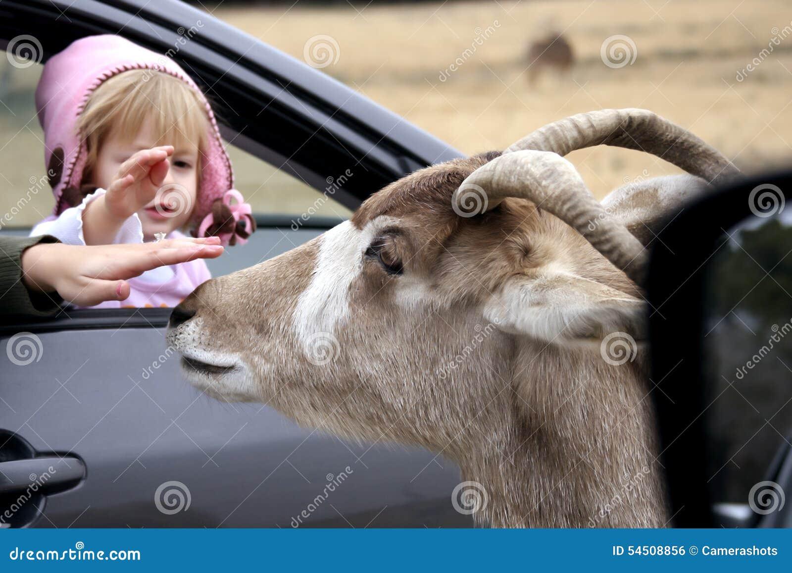 Petite fille choyant une chèvre en parc de faune