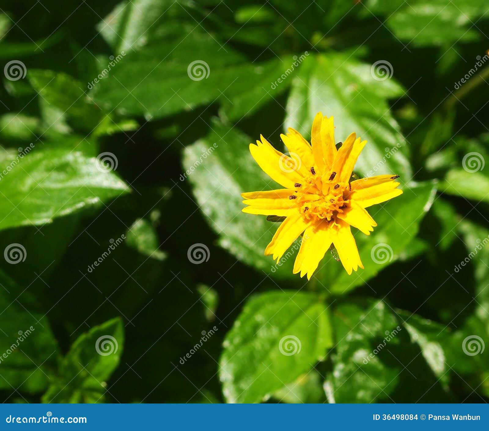 petite fleur jaune de fleurs photo stock image 36498084. Black Bedroom Furniture Sets. Home Design Ideas