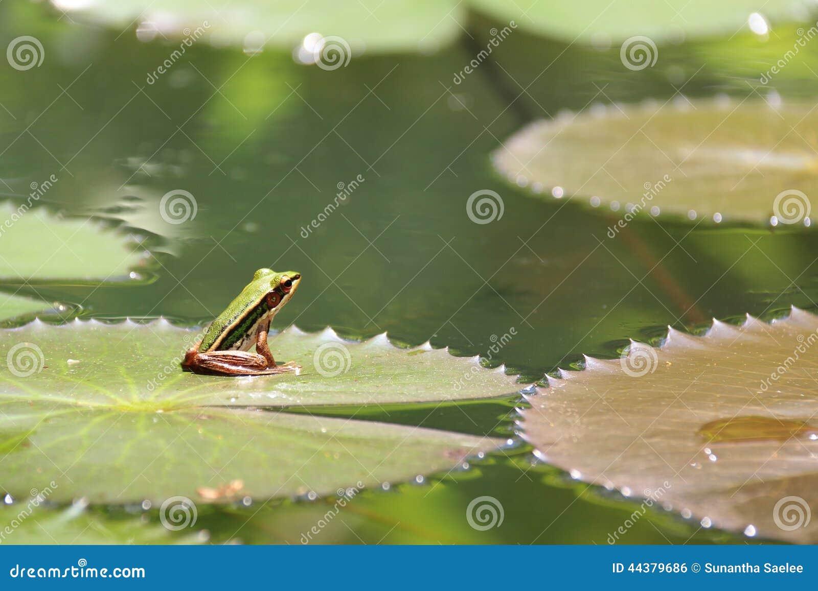 Petite grenouille sur la feuille de lotus