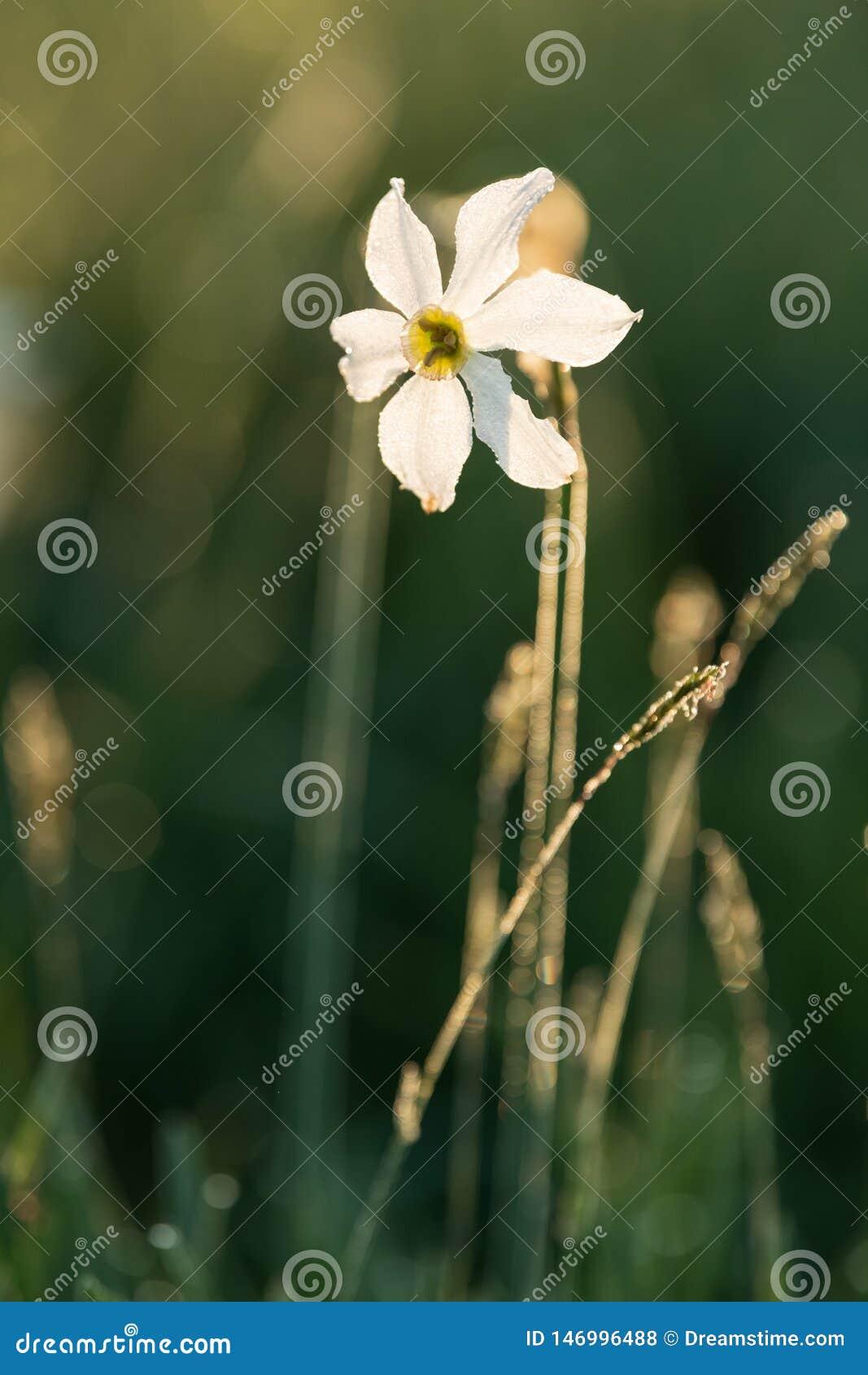 Petite jonquille sauvage blanche, radiflorus de narcisse