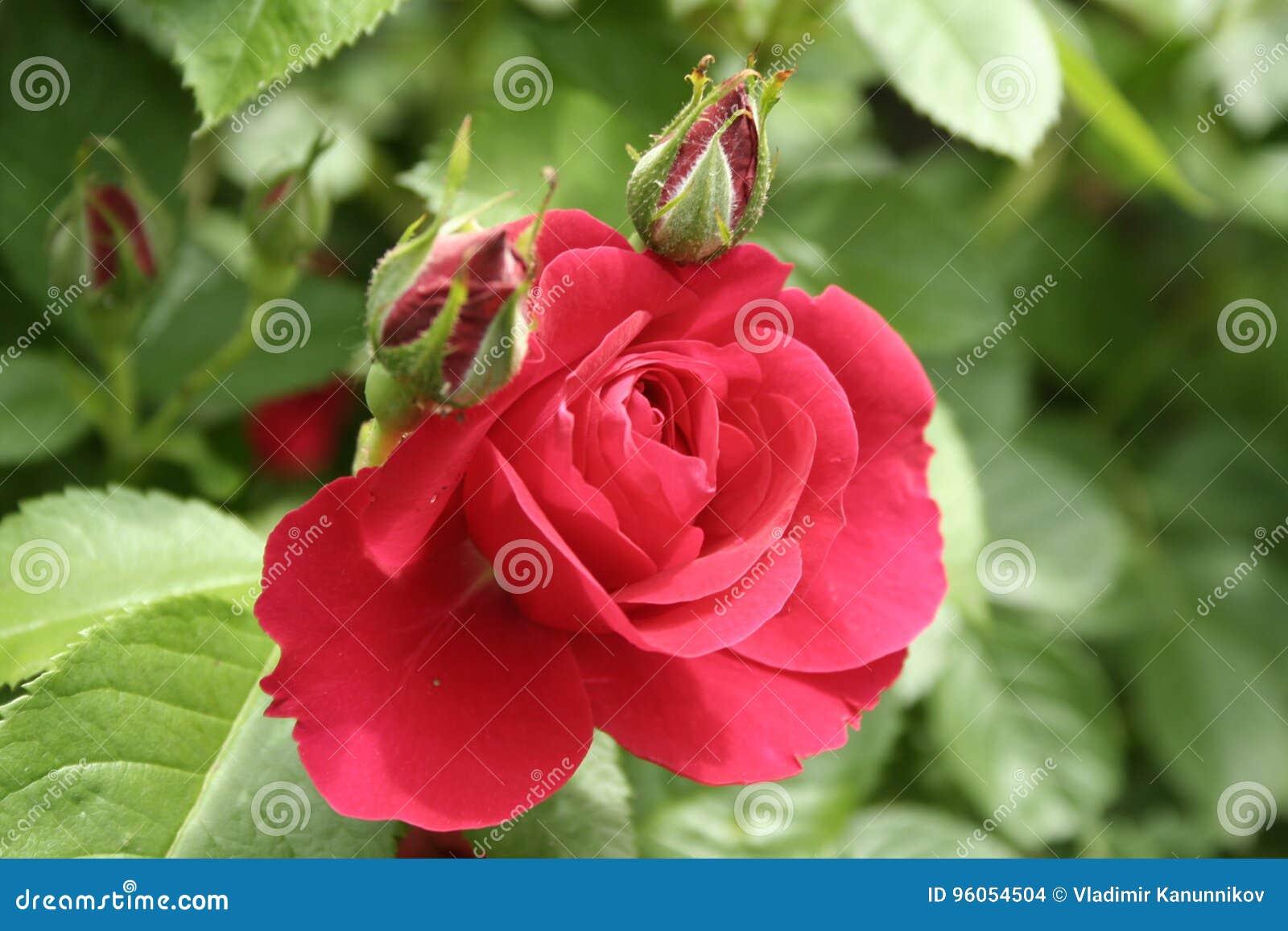 Petite Rose rouge