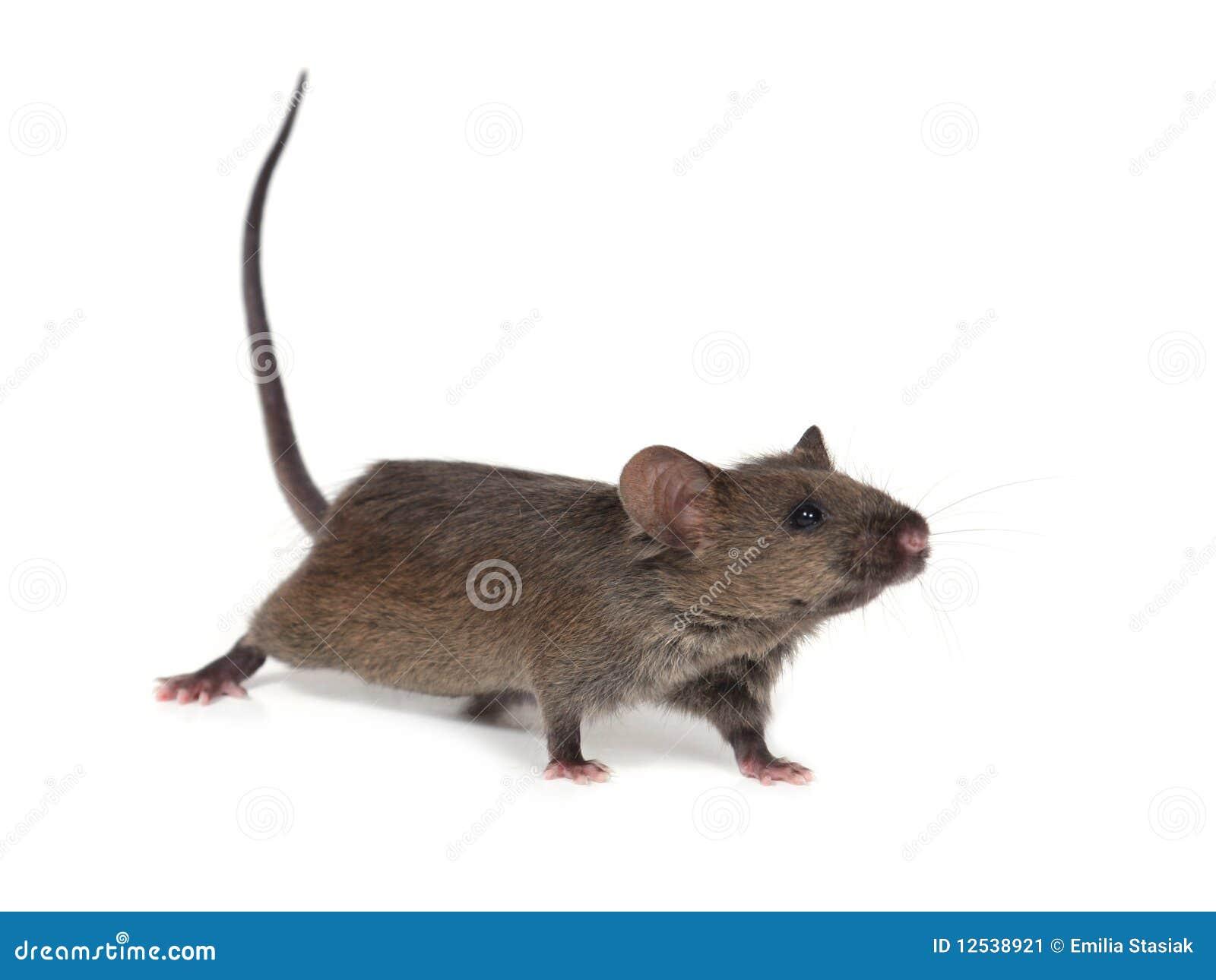 petite souris sauvage image stock image du blanc mignon 12538921. Black Bedroom Furniture Sets. Home Design Ideas