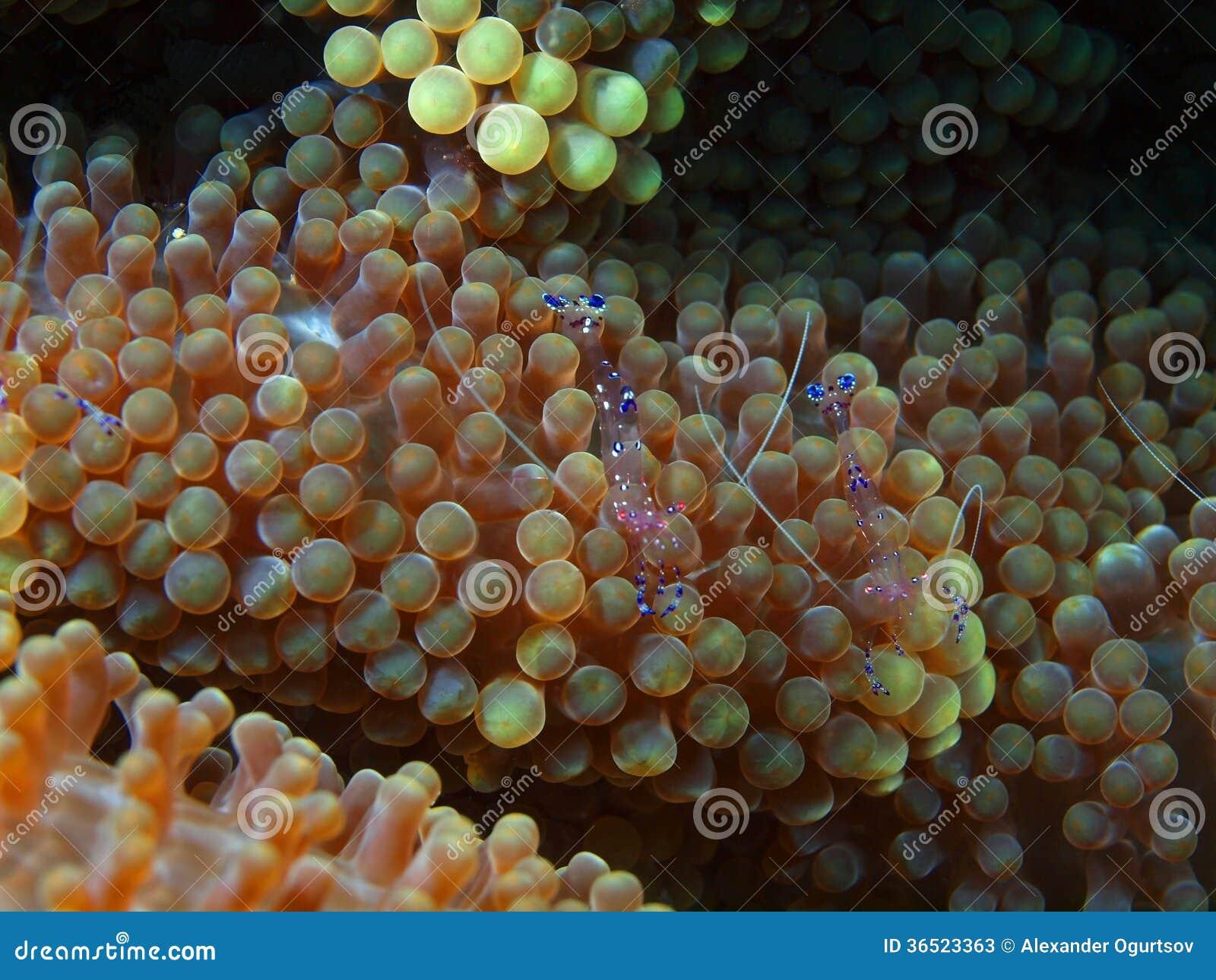 Petites crevettes sur une anémone