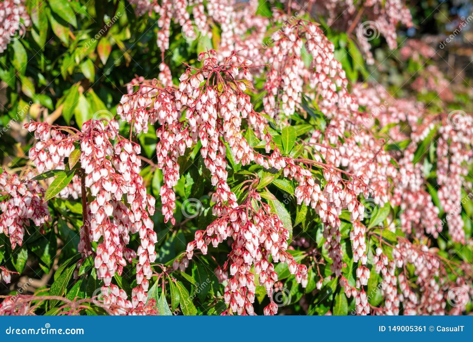 Petites fleurs à bulbes blanches de ressort sur les tiges rouges, parmi les feuilles vertes succulentes de buisson