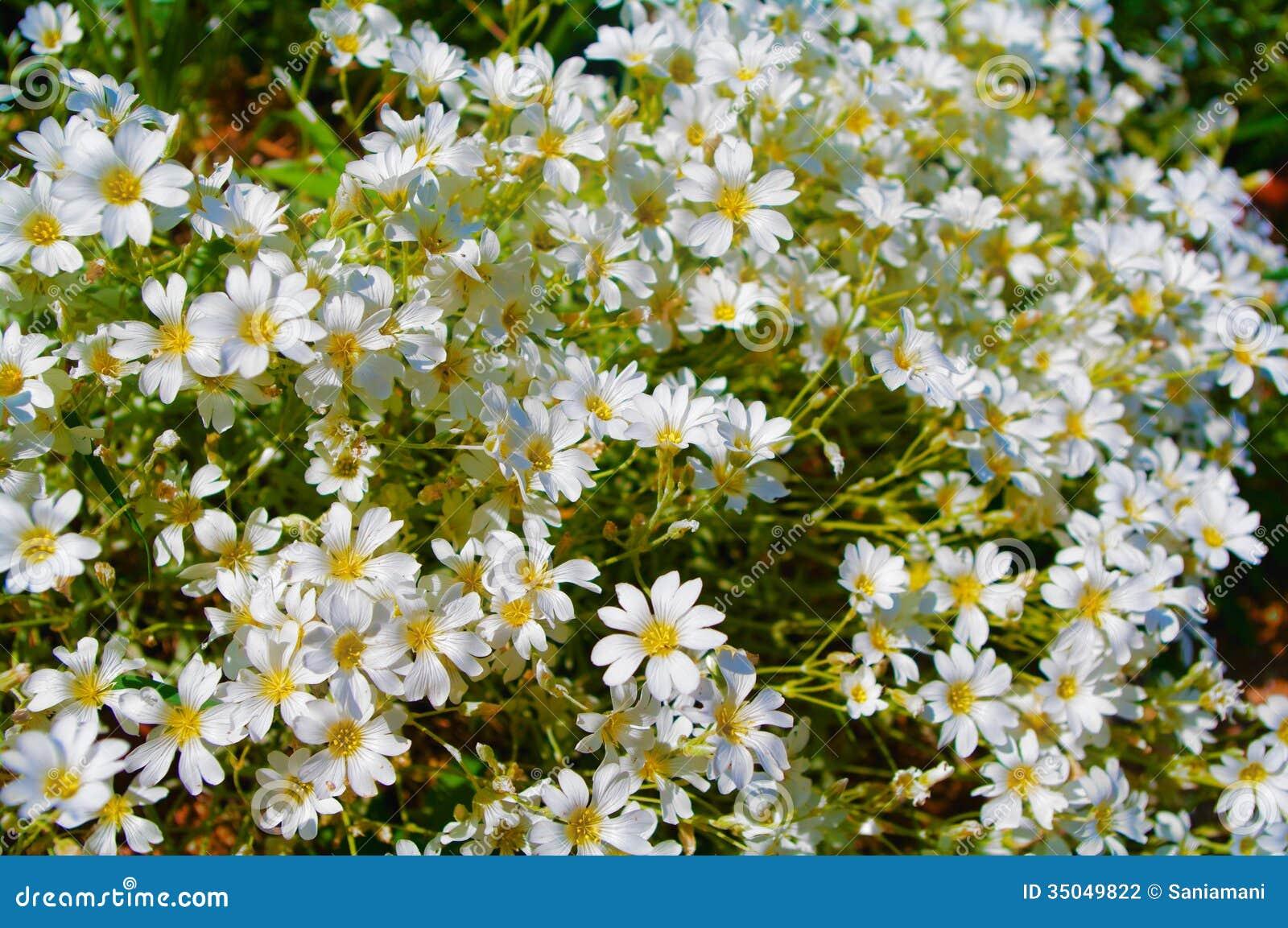 petites fleurs blanches photographie stock image 35049822. Black Bedroom Furniture Sets. Home Design Ideas