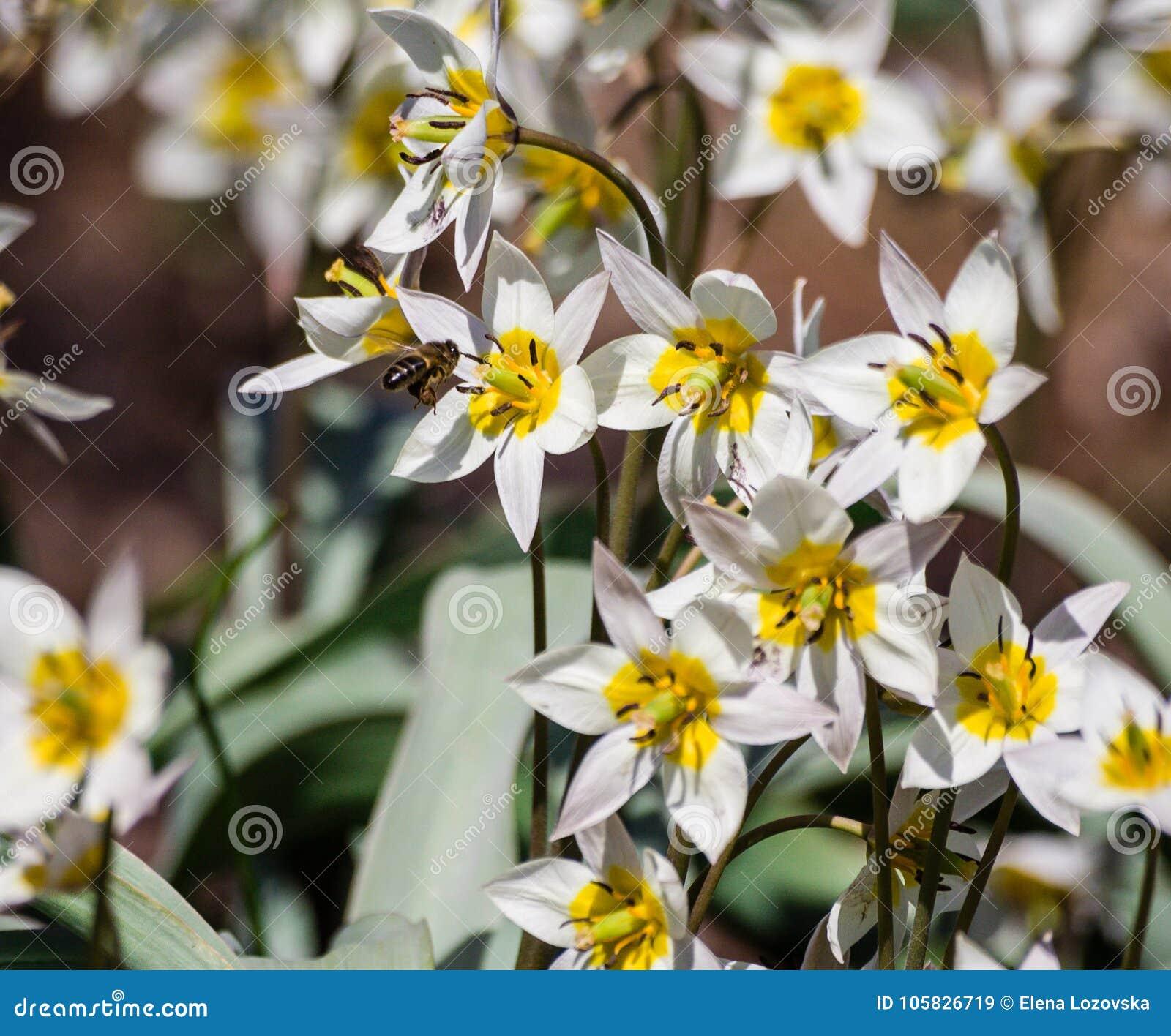 Petites Fleurs Blanches Avec Six Petales Un Coeur Jaune Image Stock