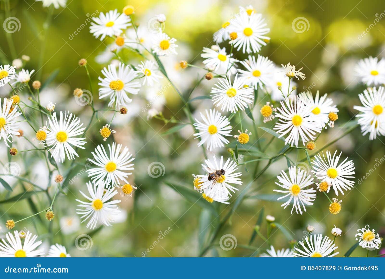 Petites fleurs blanches dans le jardin champ des fleurs de for Jardin de fleurs blanches
