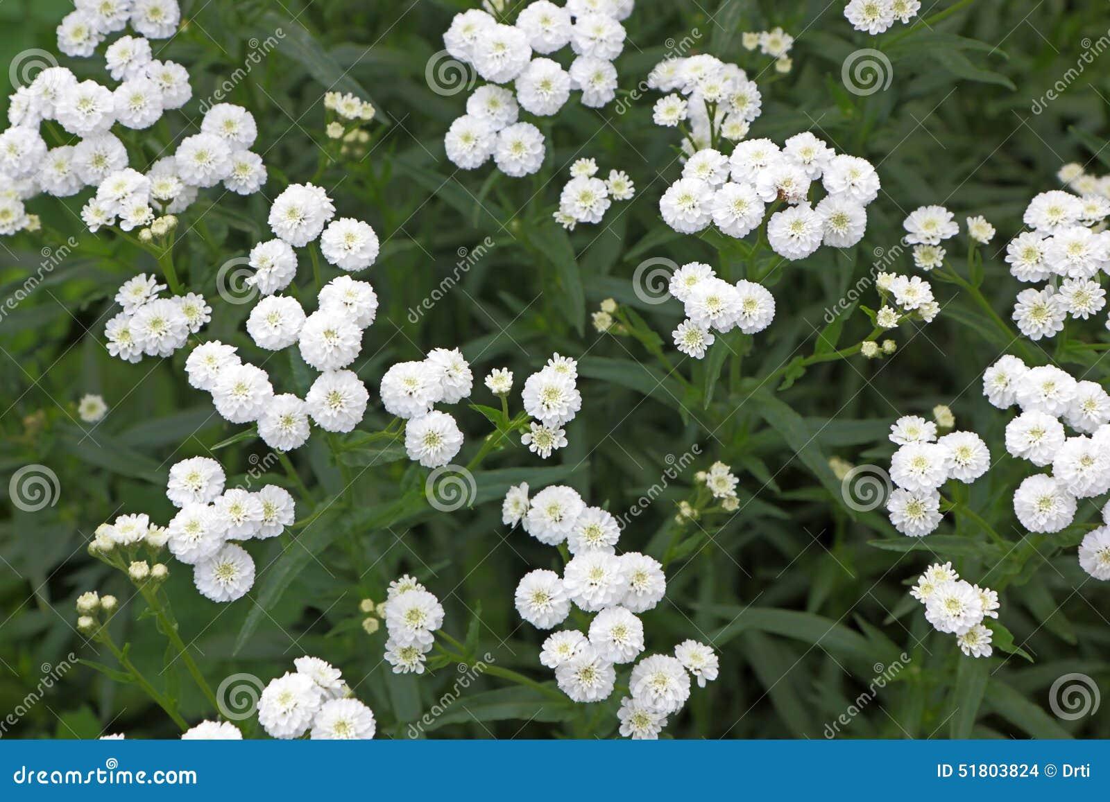 Petites Fleurs Blanches De Jardin Photo stock - Image ...