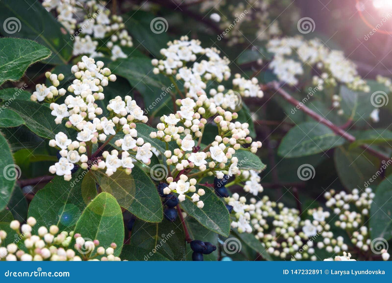 un arbre Martin le 1er Avril 2020 trouvé par Martine Petites-fleurs-blanches-de-tinus-viburnum-laurier-arbre-m-diterran-en-avec-ou-roses-et-baies-noires-147232891
