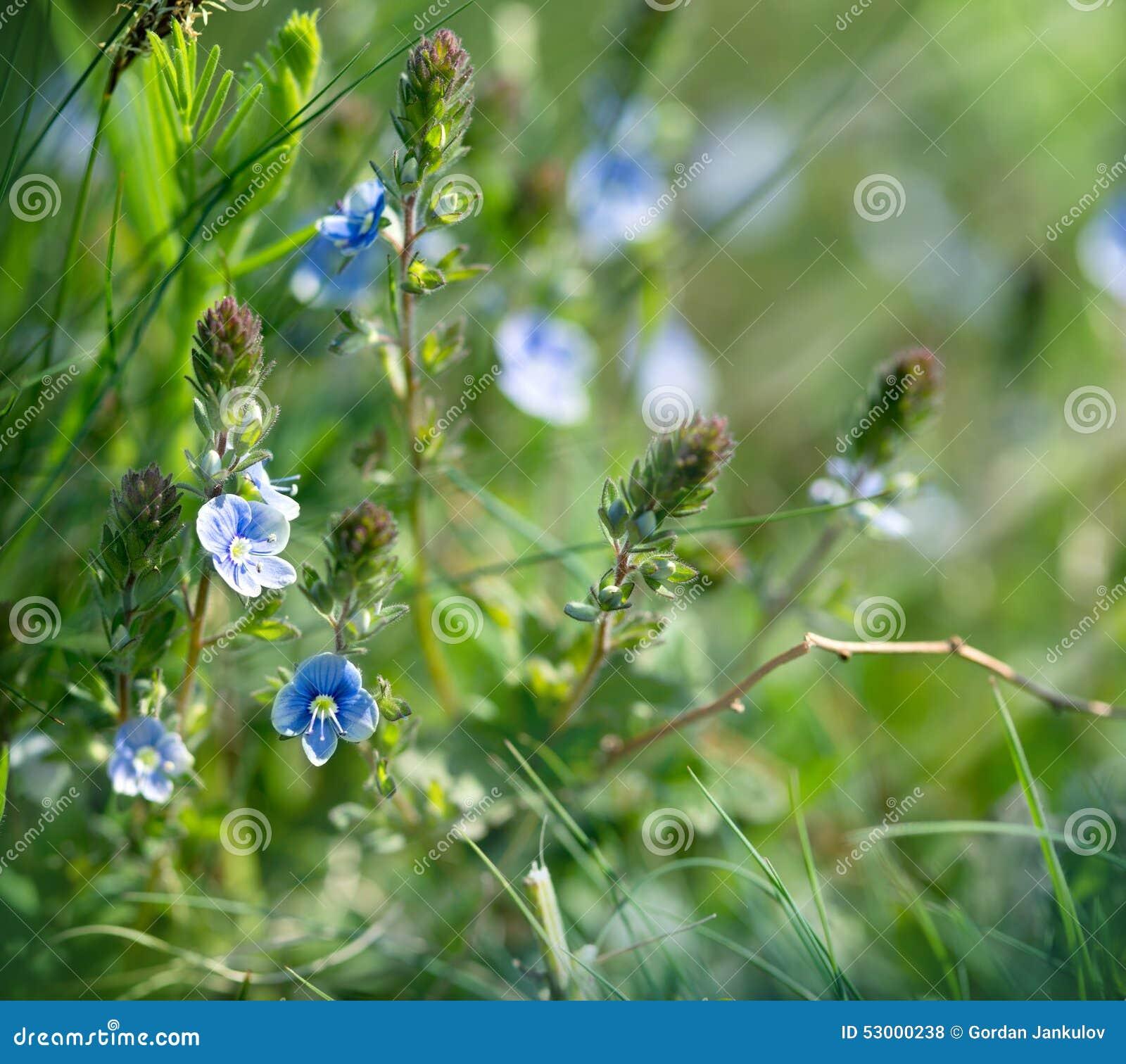 petites fleurs bleues au printemps photo stock image du vivacit fleuraison 53000238. Black Bedroom Furniture Sets. Home Design Ideas