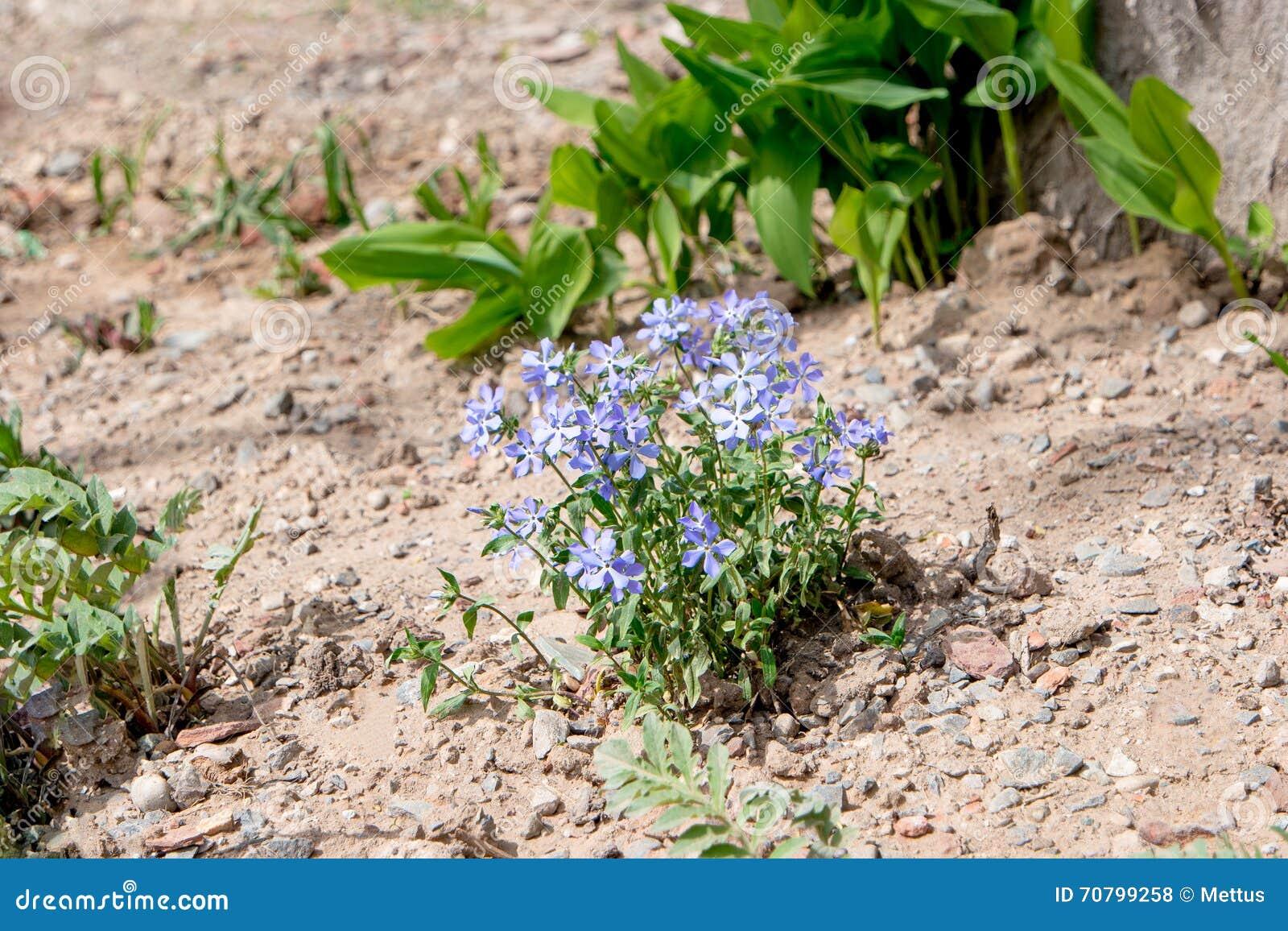 Petites fleurs bleues dans le sol sec du jardin photo for Fleurs dans le jardin