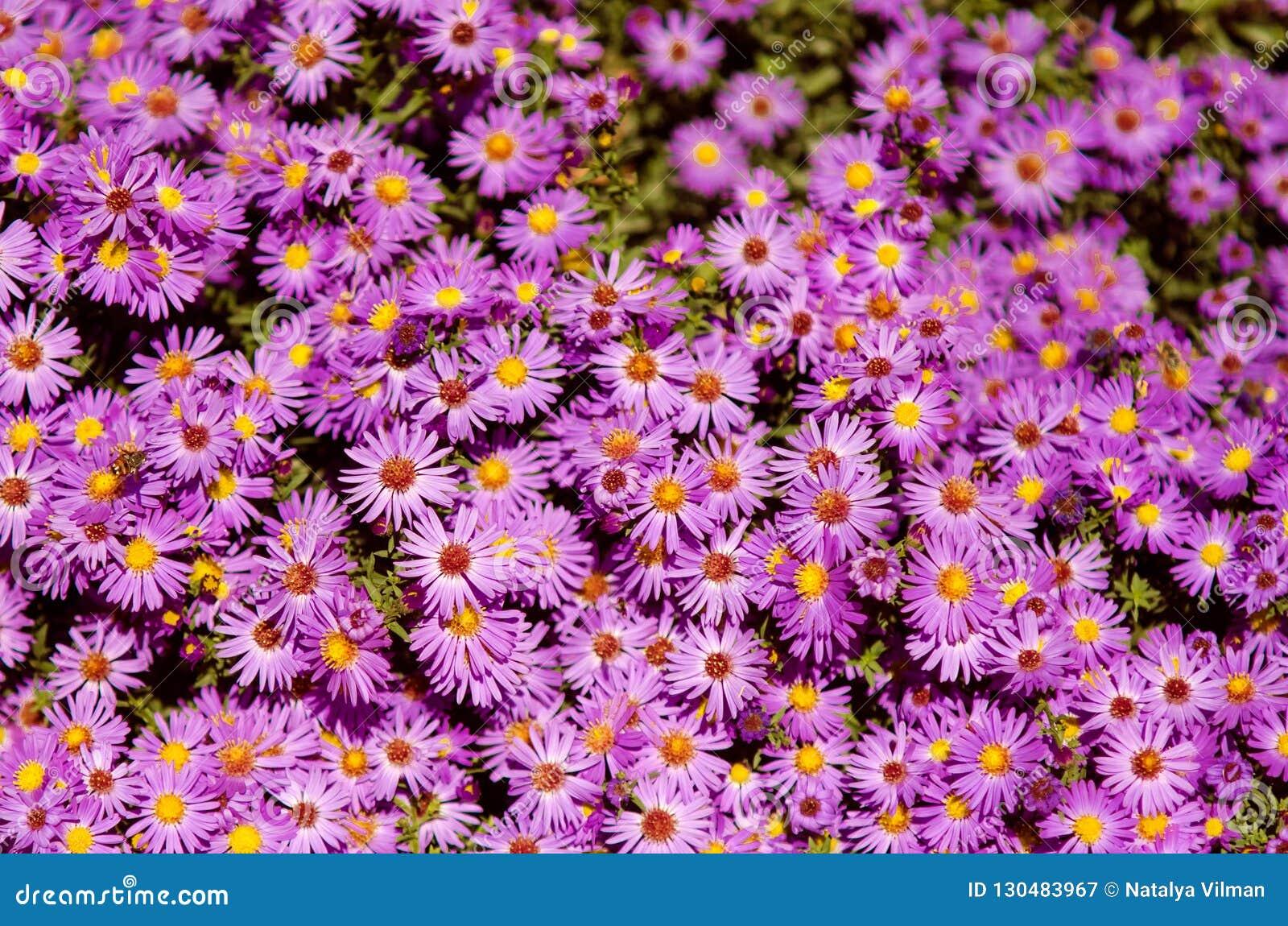 Petites fleurs d Astra de jardin Groupe d aster alpin Alpinus d asters
