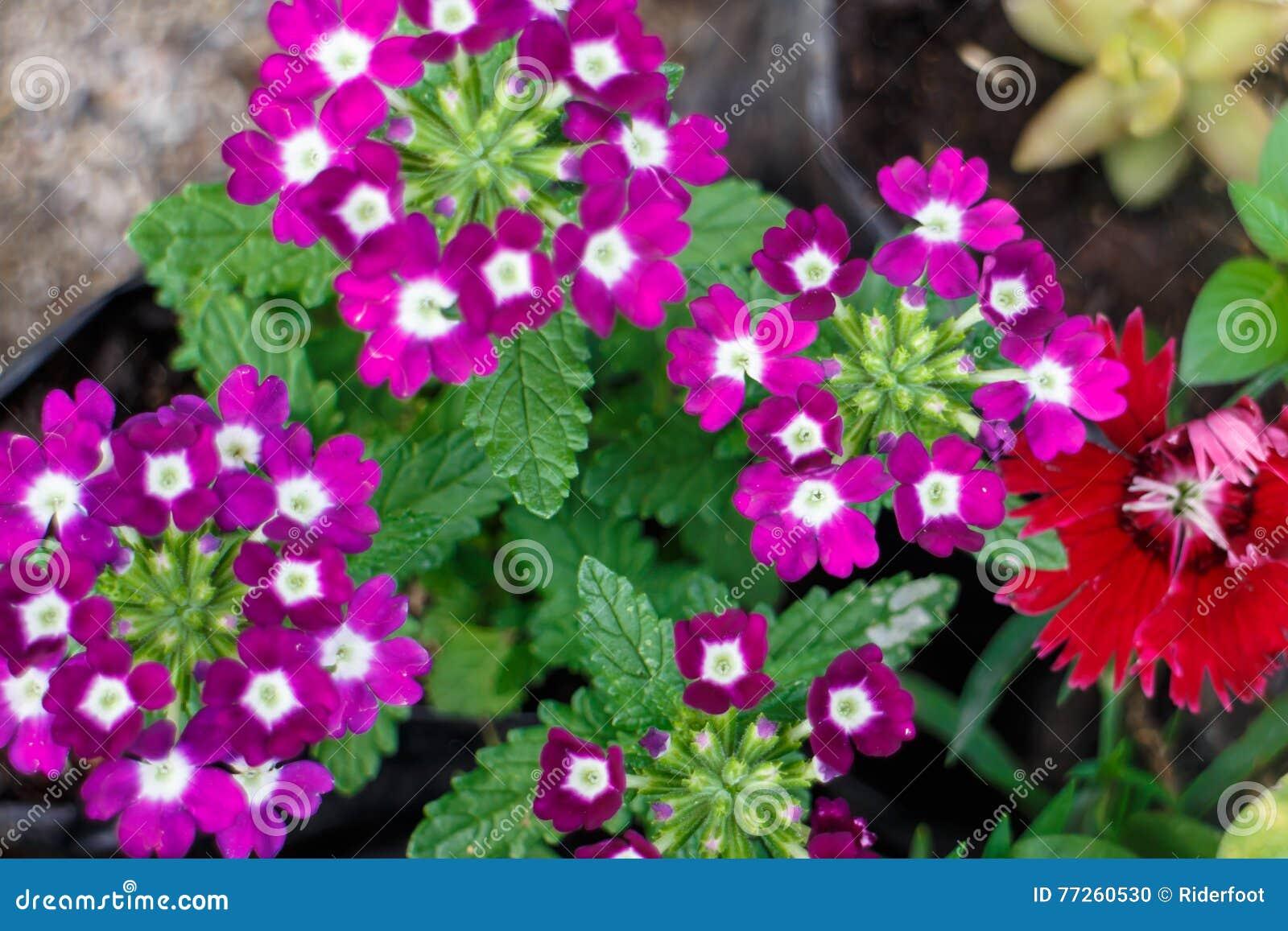 Petites fleurs de colorfull d 39 un jardin photo stock for Un jardin de fleurs