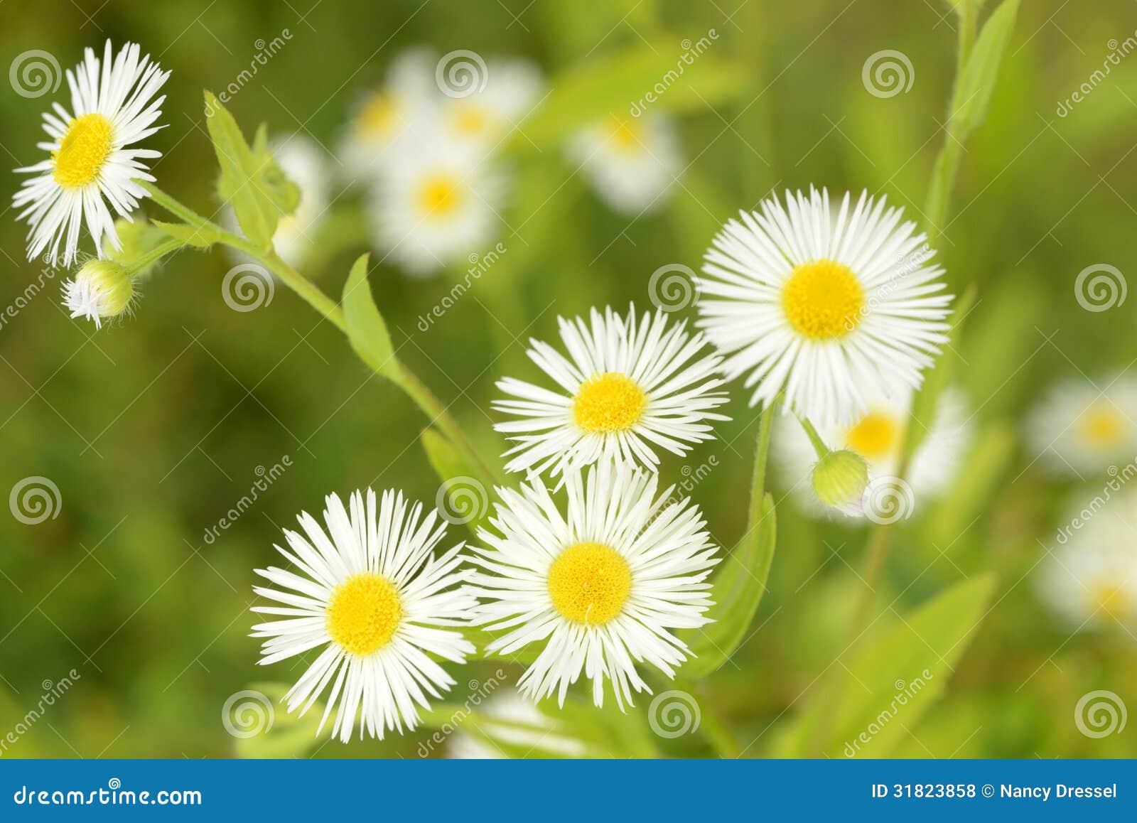 Petites Fleurs De Marguerite En Nature Photo Stock Image Du Jardin
