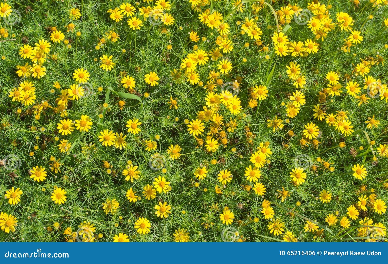 petites fleurs jaunes photo stock image du herbe frais. Black Bedroom Furniture Sets. Home Design Ideas