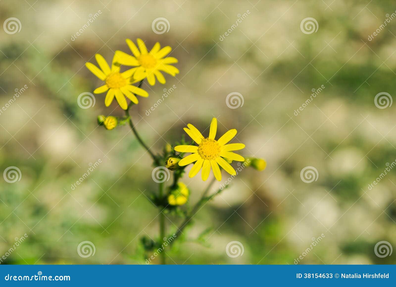 petites fleurs jaunes dans le printemps image stock image du macro orange 38154633. Black Bedroom Furniture Sets. Home Design Ideas
