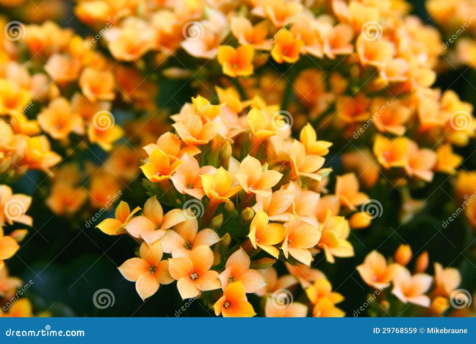 Petites fleurs oranges et jaunes