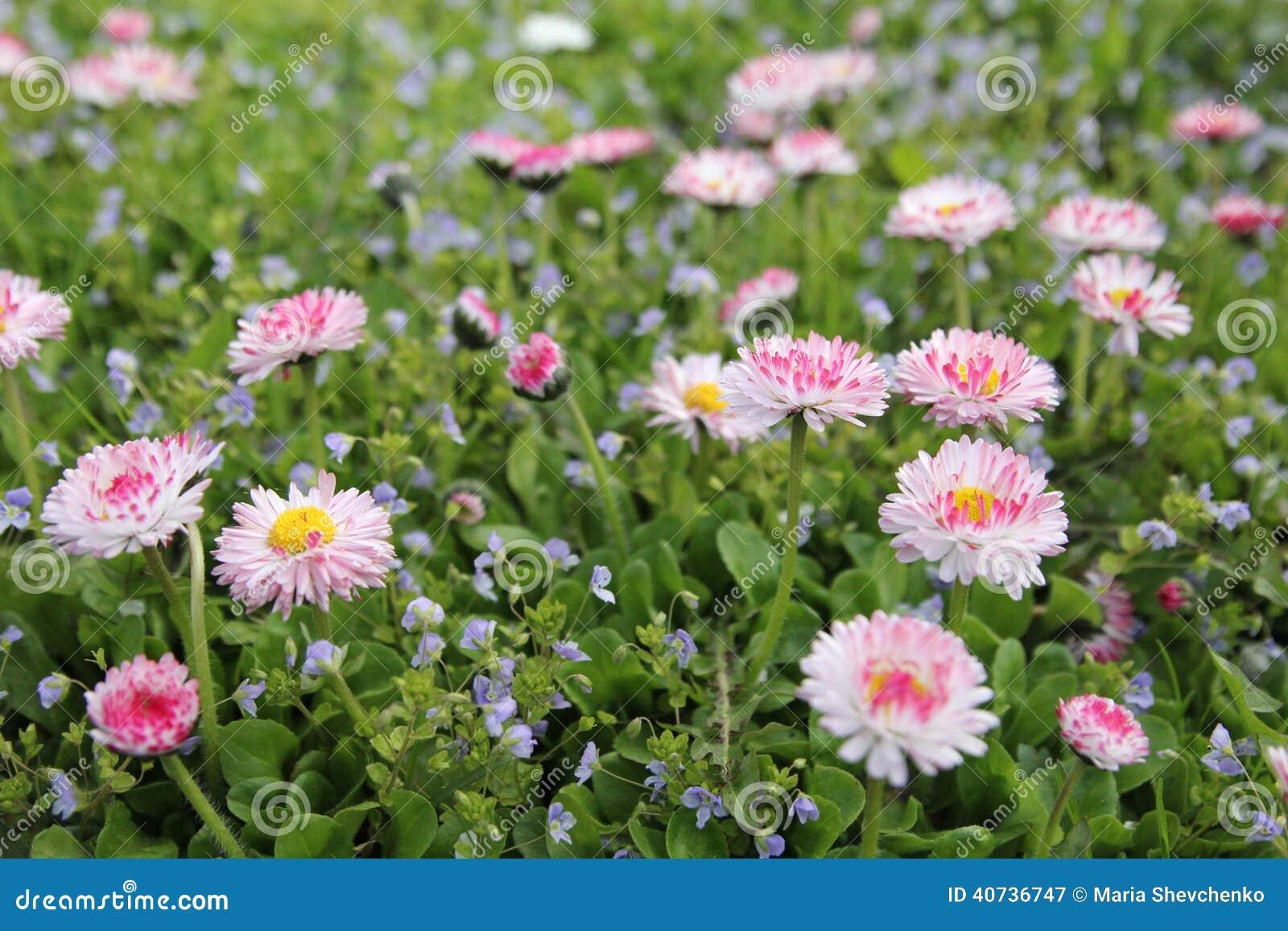 petites fleurs roses - marguerite photo stock - image: 40736747