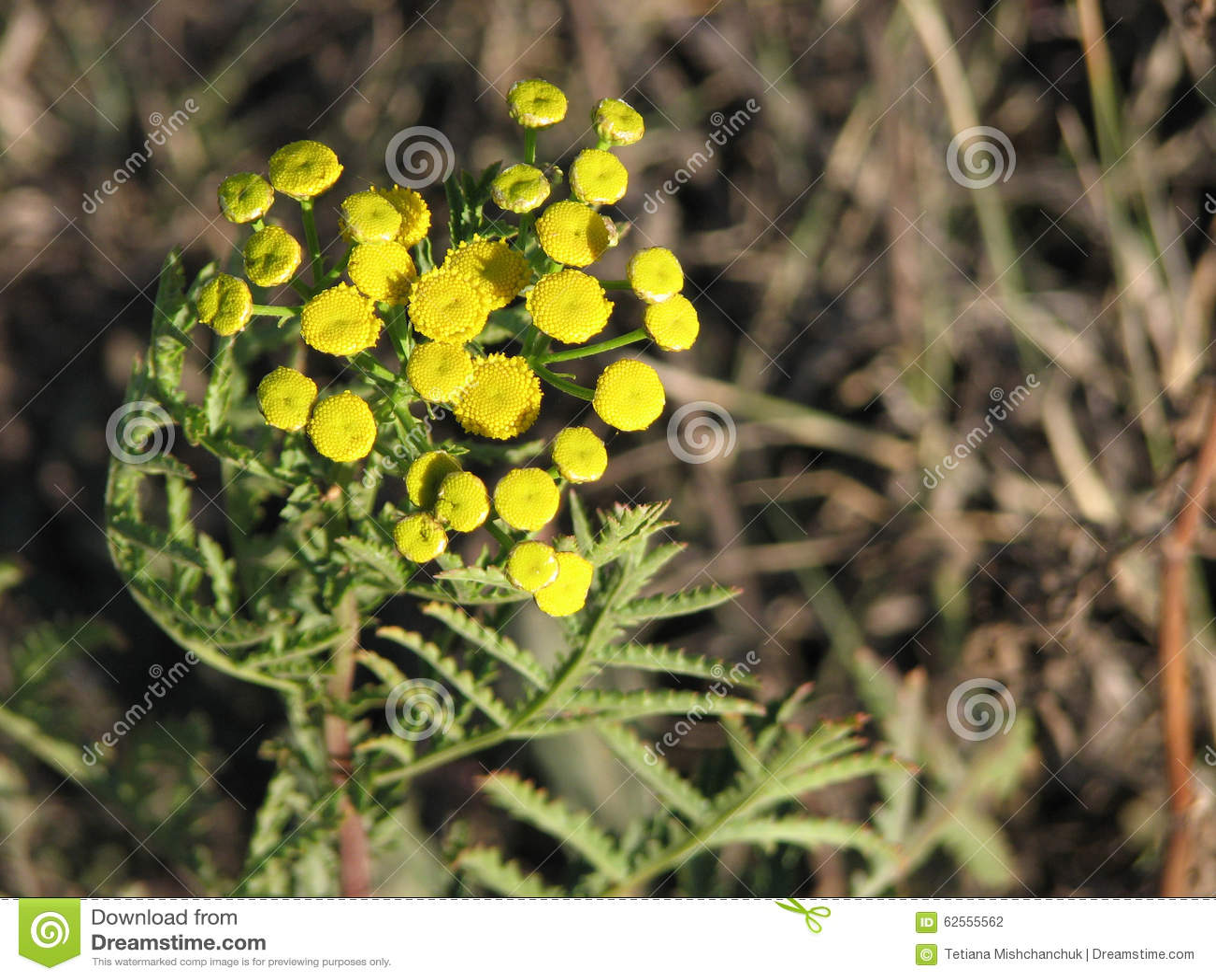 petites fleurs sauvages jaunes stock images 65 photos. Black Bedroom Furniture Sets. Home Design Ideas