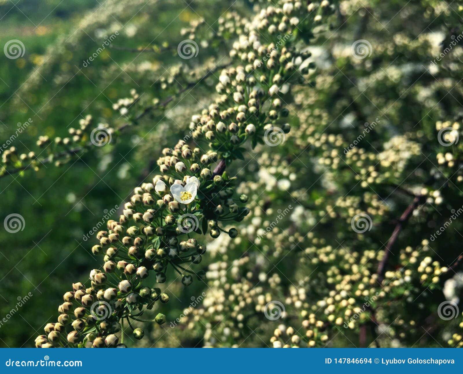 Petites fleurs sur une branche de spirea