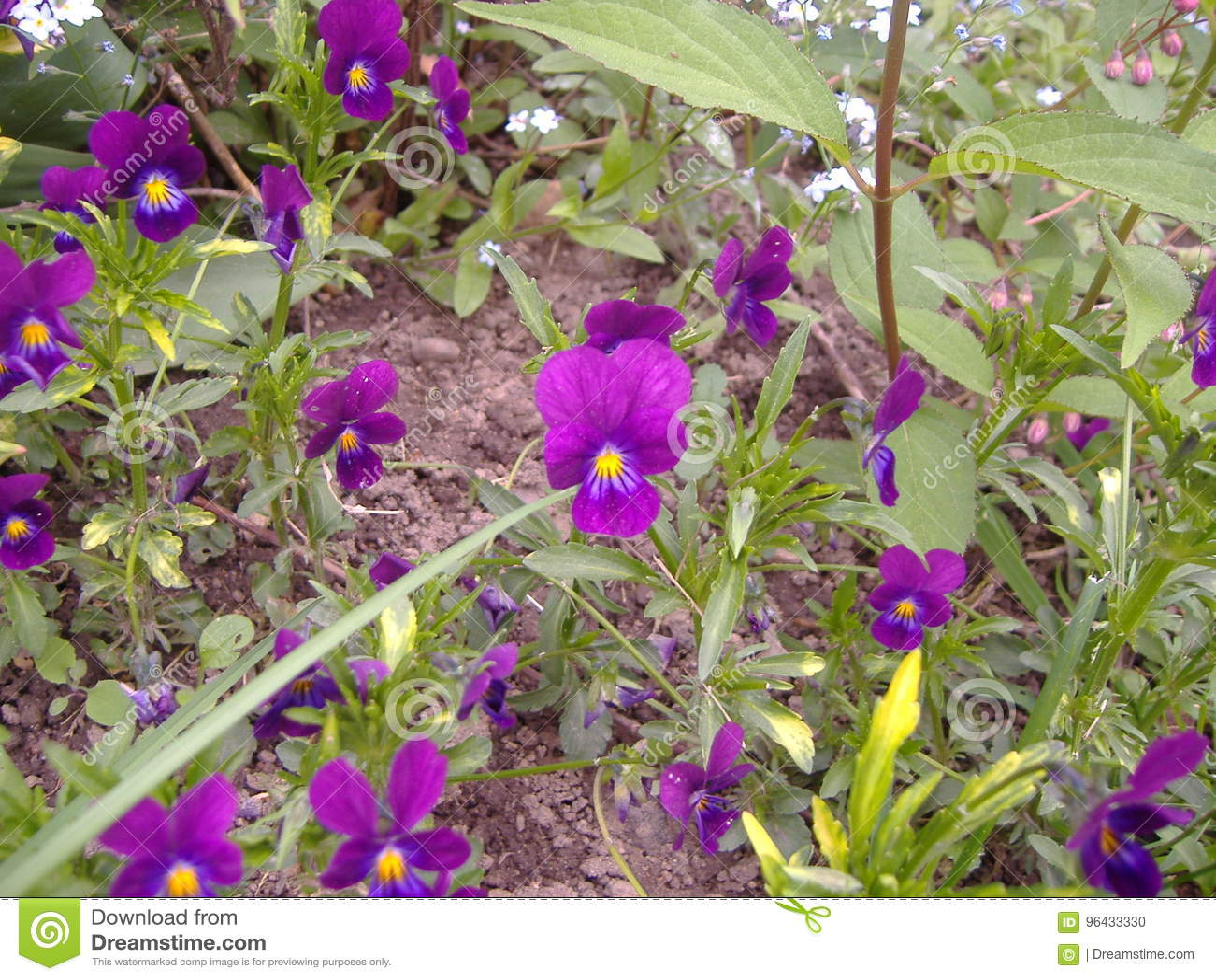 Petites Jacinthe En Fleur Flower Stock Photo Image Of Printemps