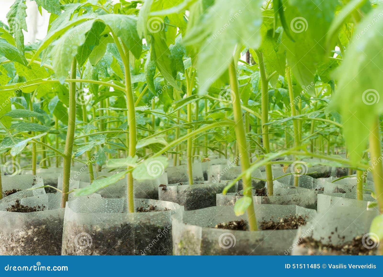 petites plantes de tomate en serre chaude pour la transplantation image stock image du. Black Bedroom Furniture Sets. Home Design Ideas