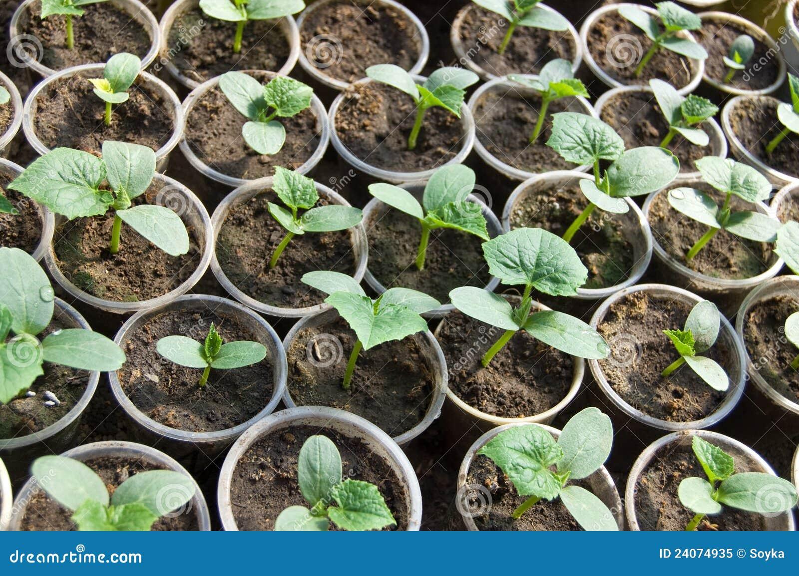 Petites pousses de soja image stock image du organique - Cuisiner des pousses de soja ...