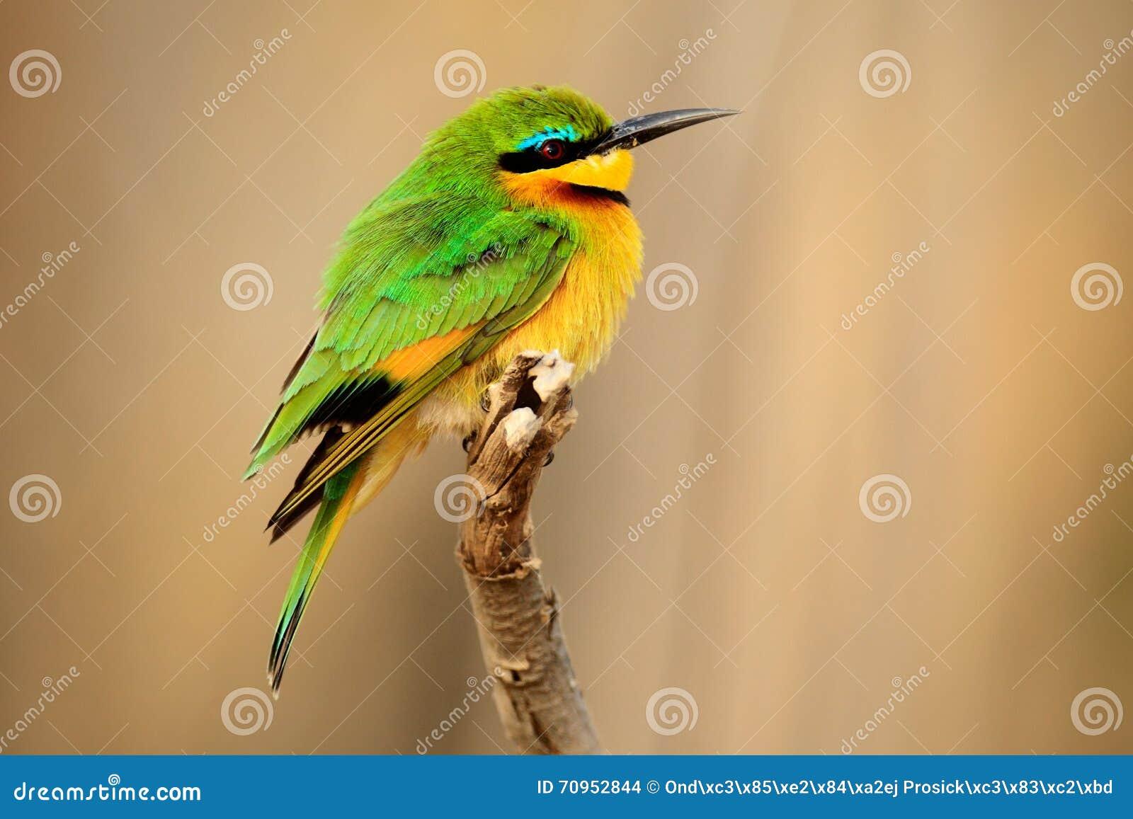 Petits abeille mangeur pusillus de merops d tail d for Oiseau vert et rouge