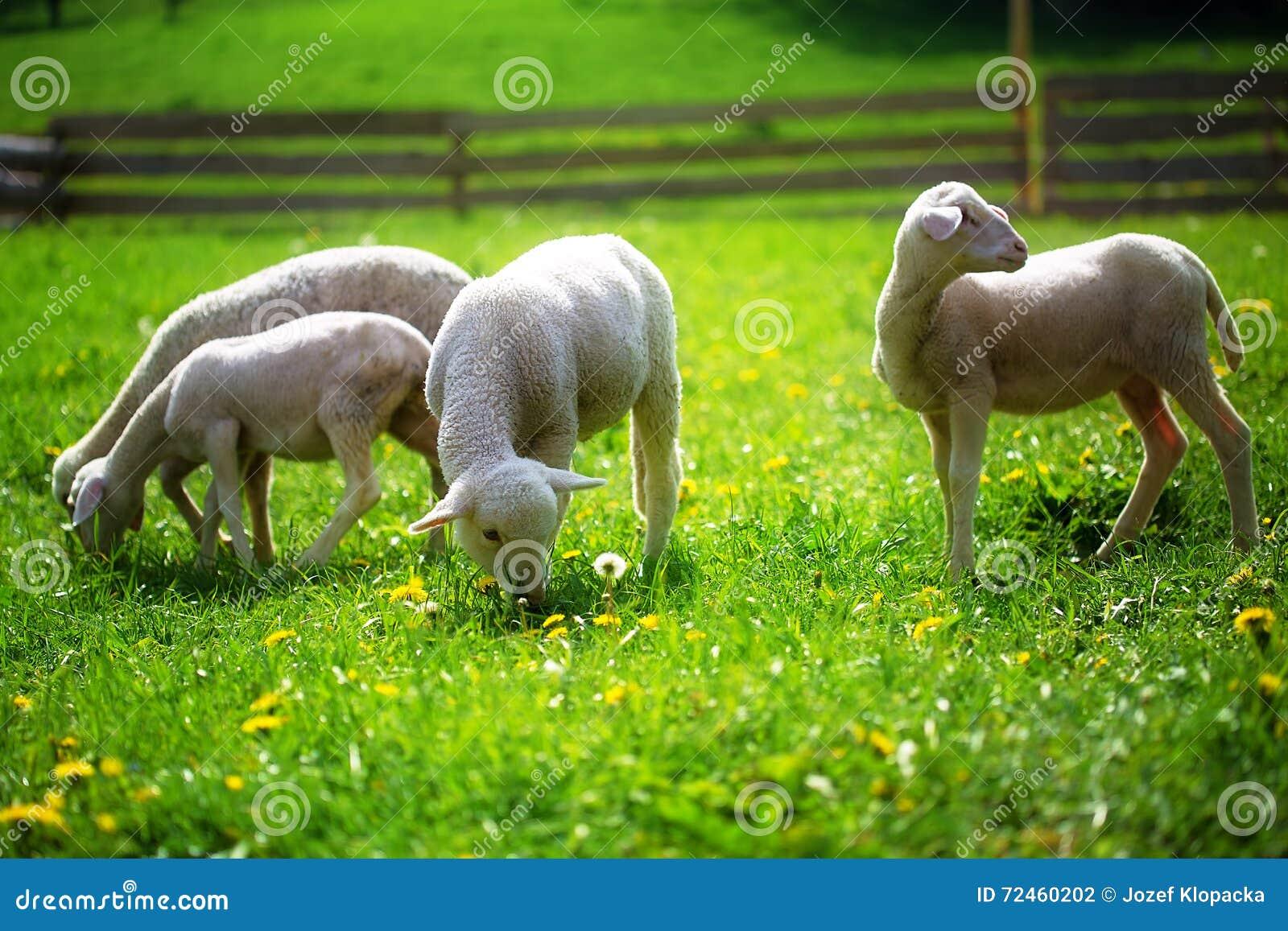 Petits agneaux frôlant sur un beau pré vert avec le pissenlit