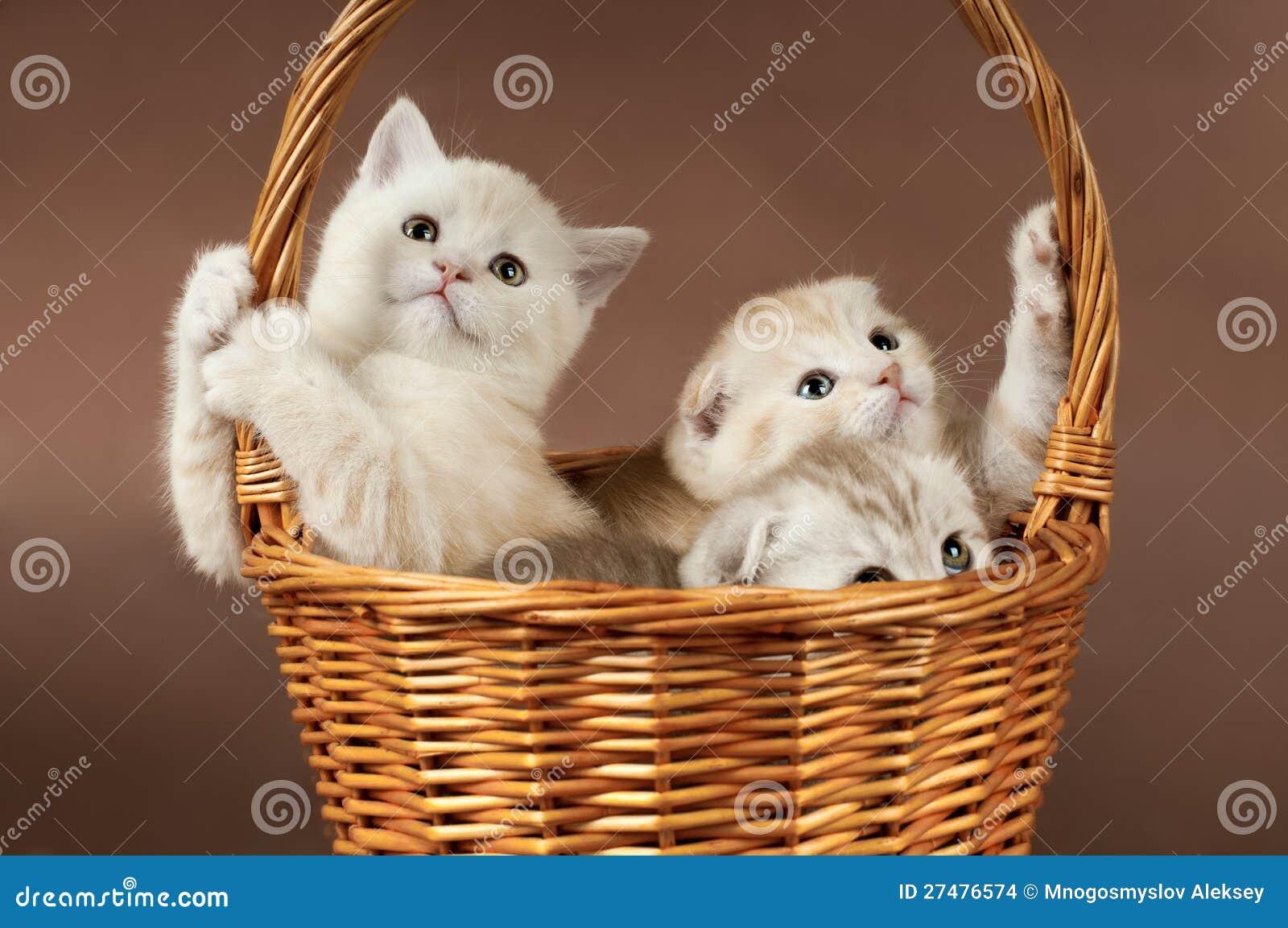 Petits chatons pelucheux
