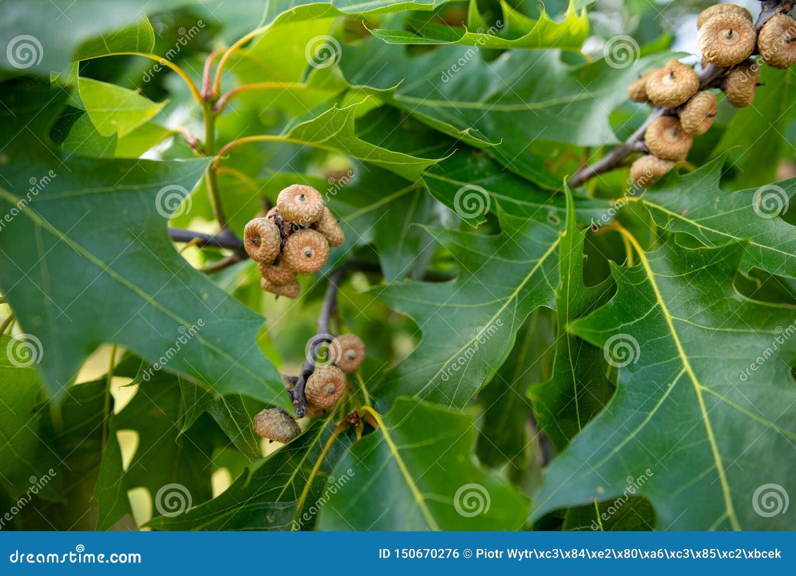 Petits glands de chêne rouge Feuilles et fruits du chêne