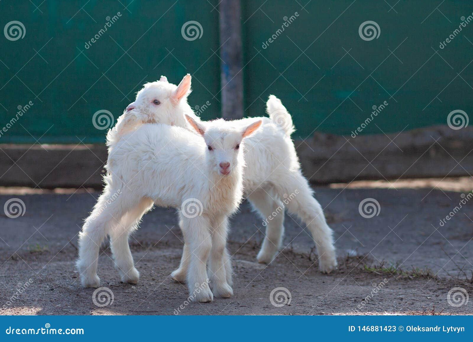 Petits goatlings gentils blancs explorant le monde