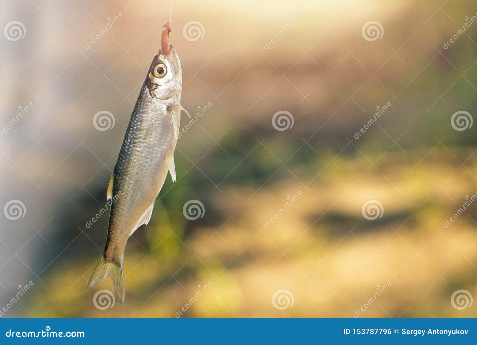 Petits juste poissons pêchés sur le crochet