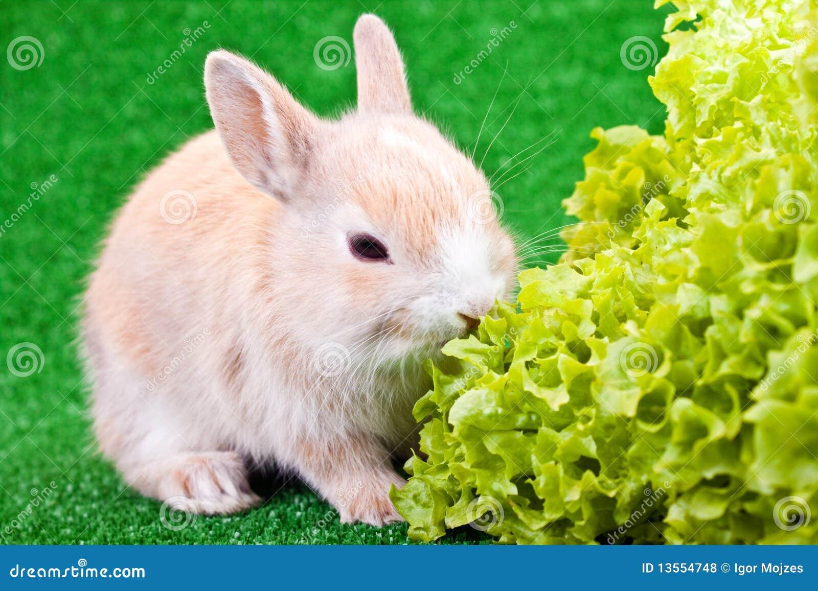 Petits lapin et salade mignons photos libres de droits - Photo de lapin mignon ...